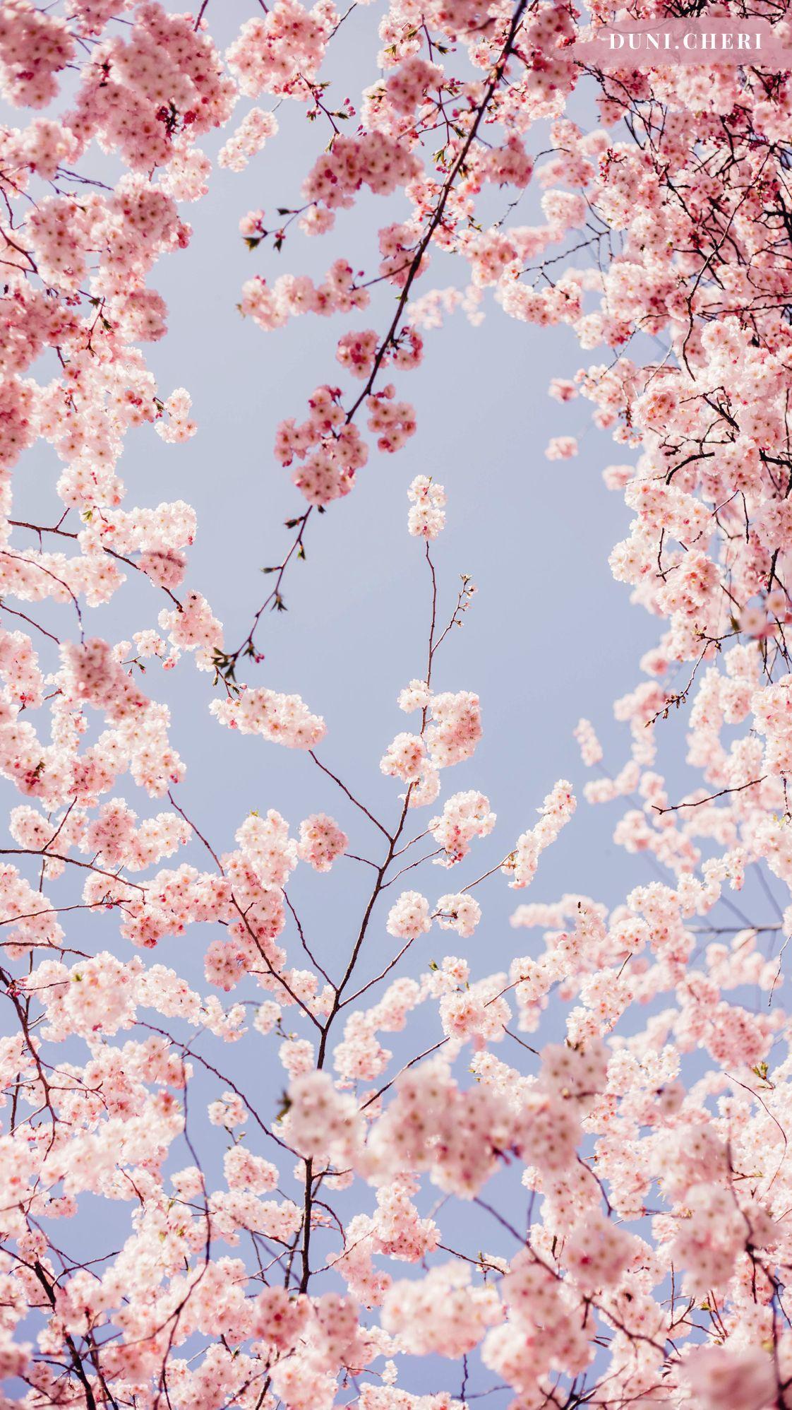 26 Wallpaper Iphone Wallpaper Anime Cherry Blossom Orochi Wallpaper