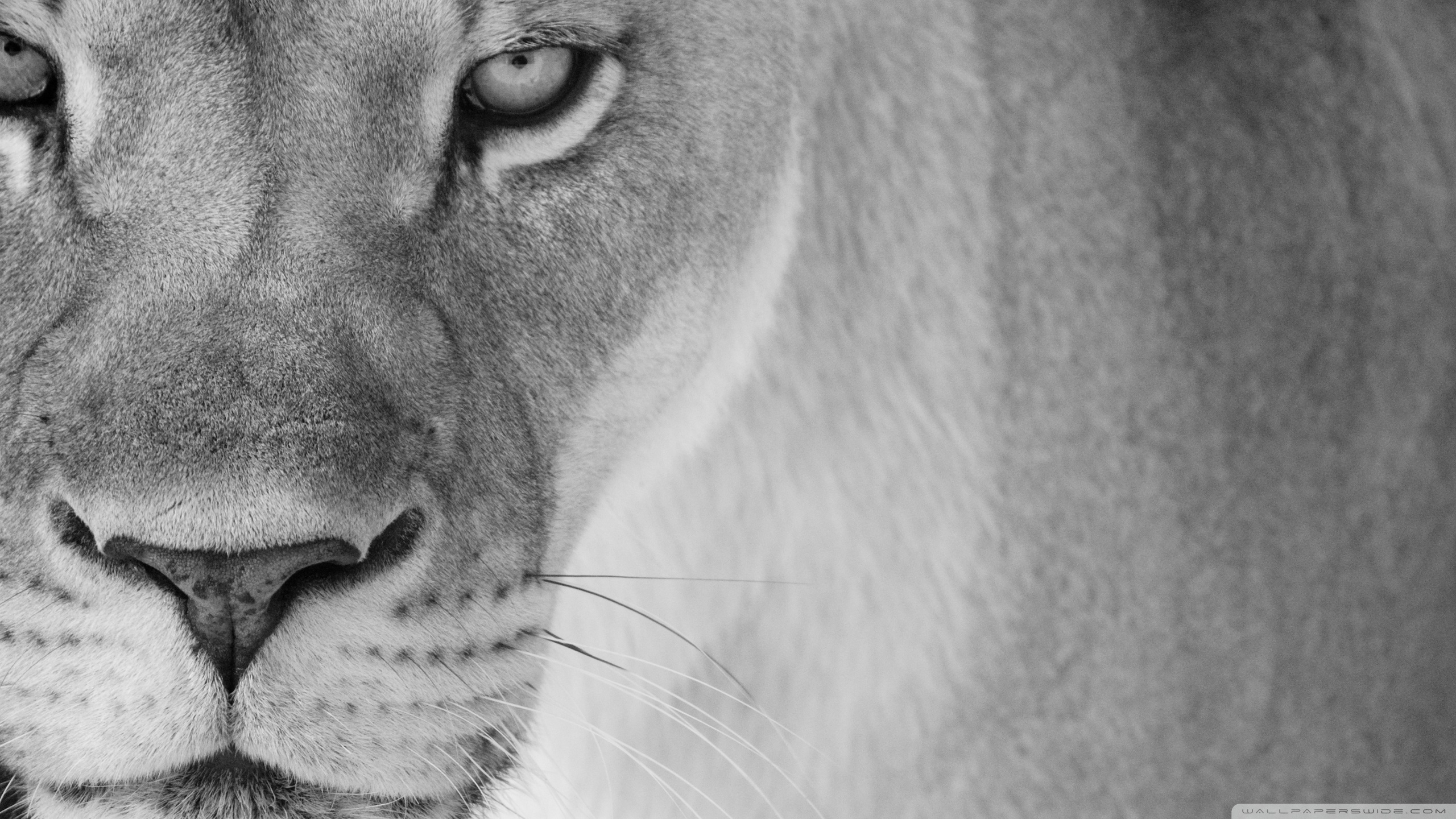 Lion Black And White Wallpapers Wallpaper Cave