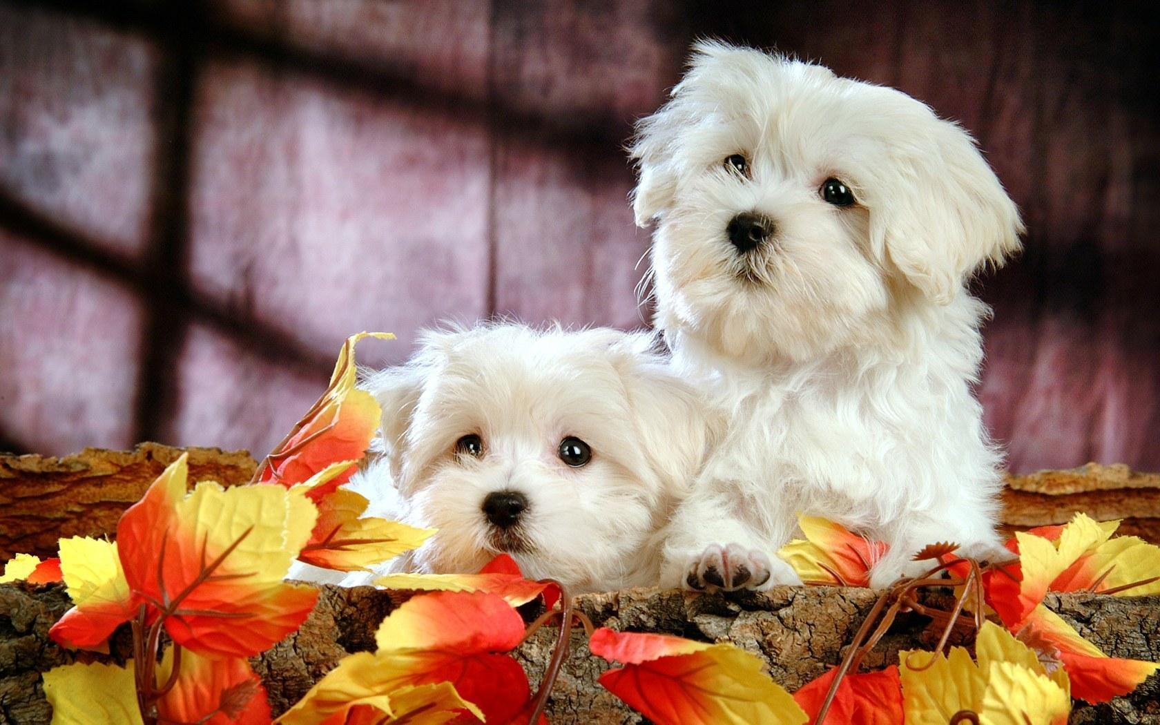 HD wallpapers Cute White Puppy HD Wallpapers White Puppies Wallpapers