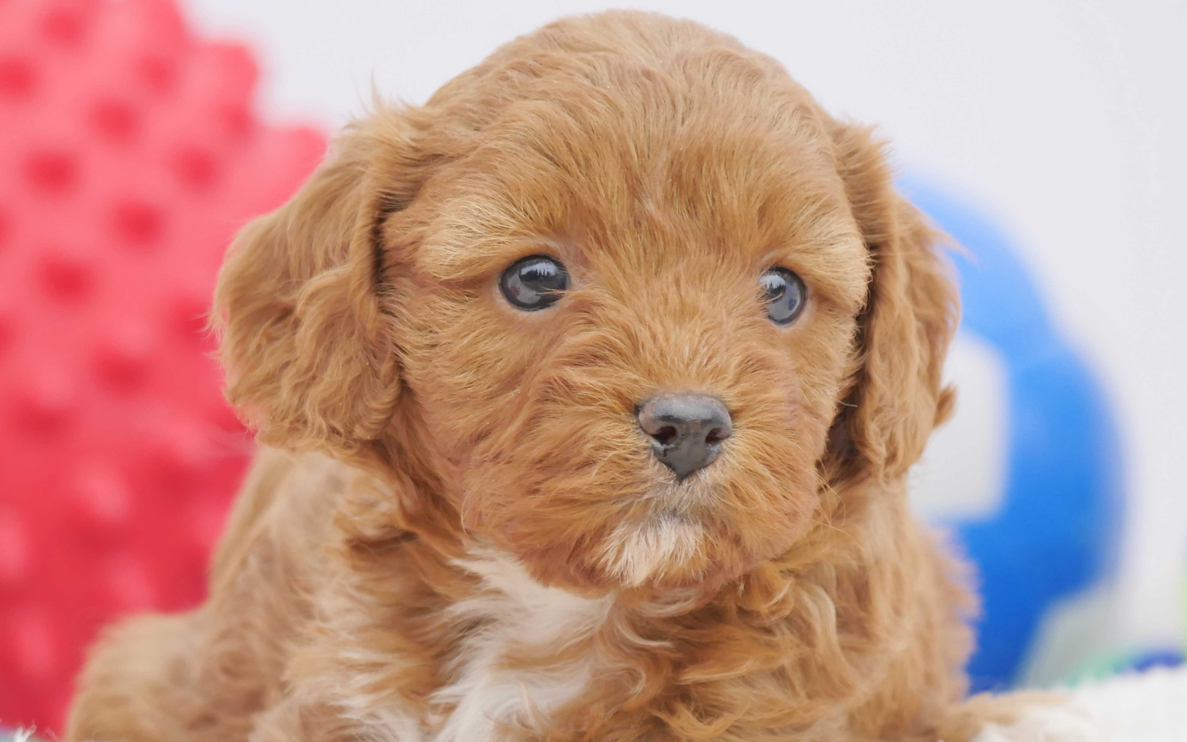Cavoodle Dogs Wallpapers Wallpaper Cave