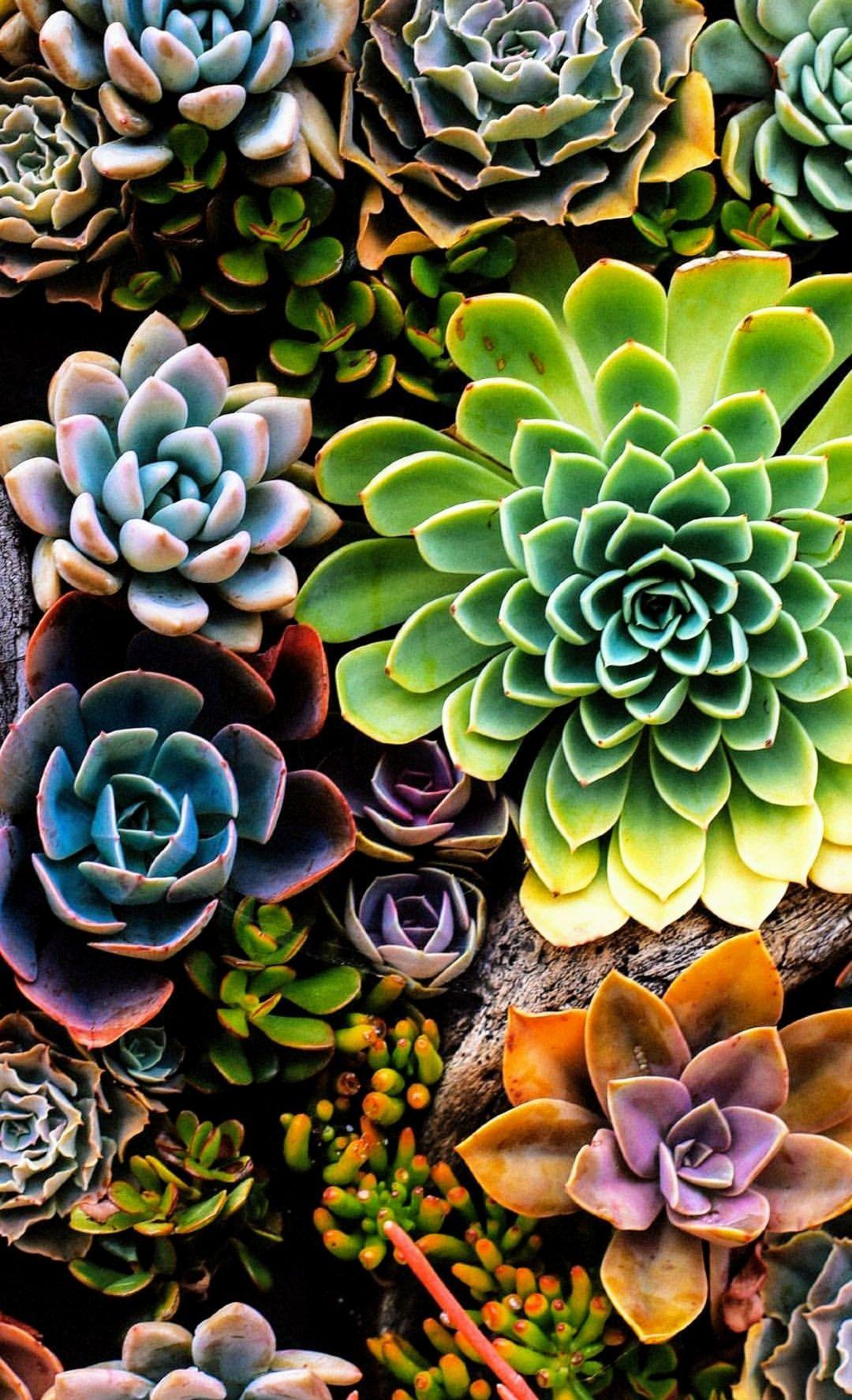 Succulent Iphone Wallpapers Wallpaper Cave