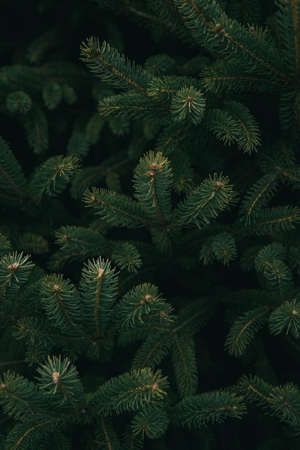 Christmas Pine Trees Wallpapers Wallpaper Cave