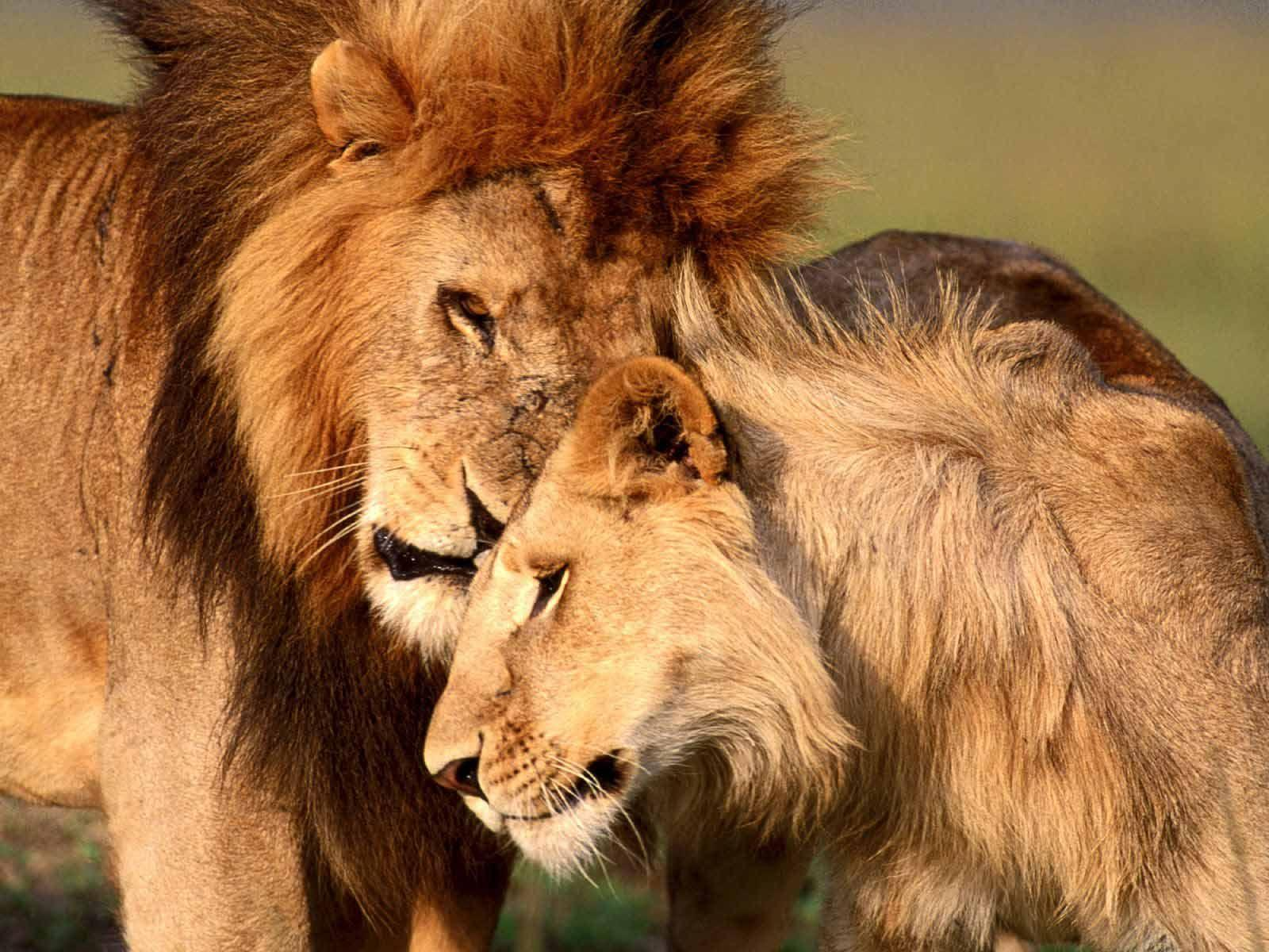 Lion And Lioness Wallpapers Wallpaper Cave