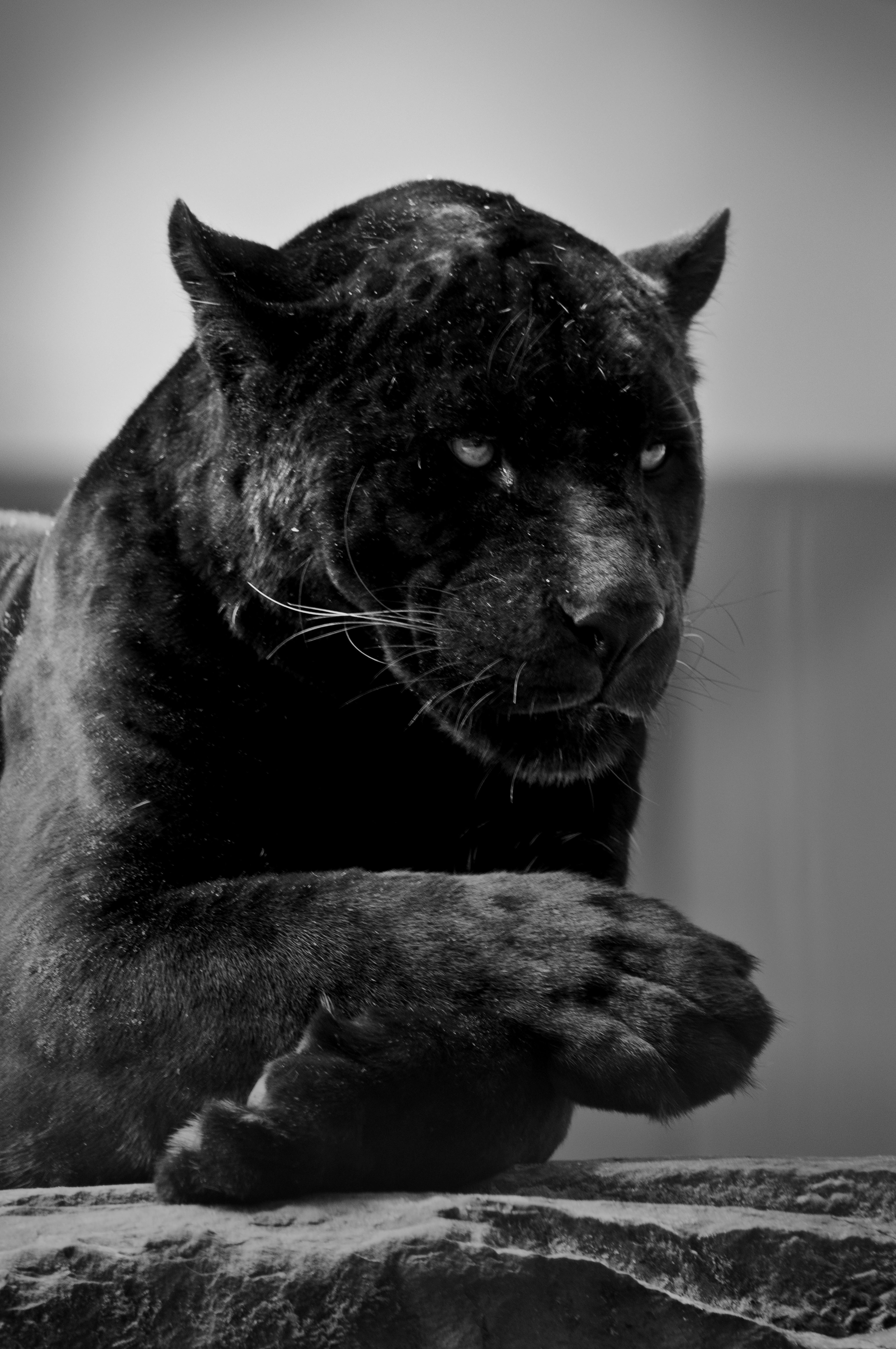 Black Wallpaper Jaguar Animal
