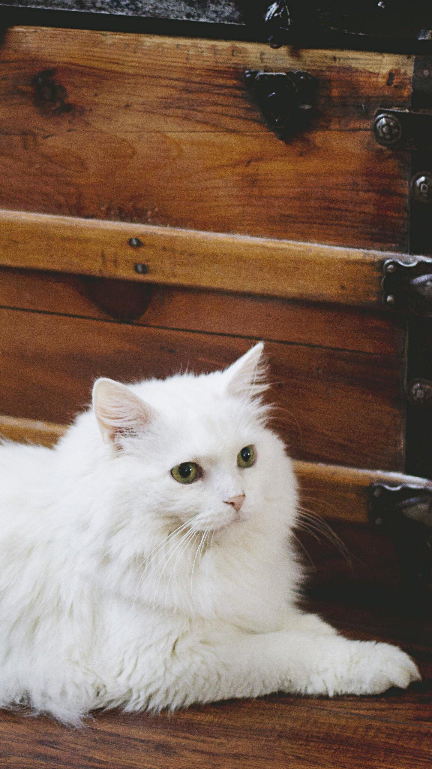 White Fluffy Cat Wallpapers Wallpaper Cave