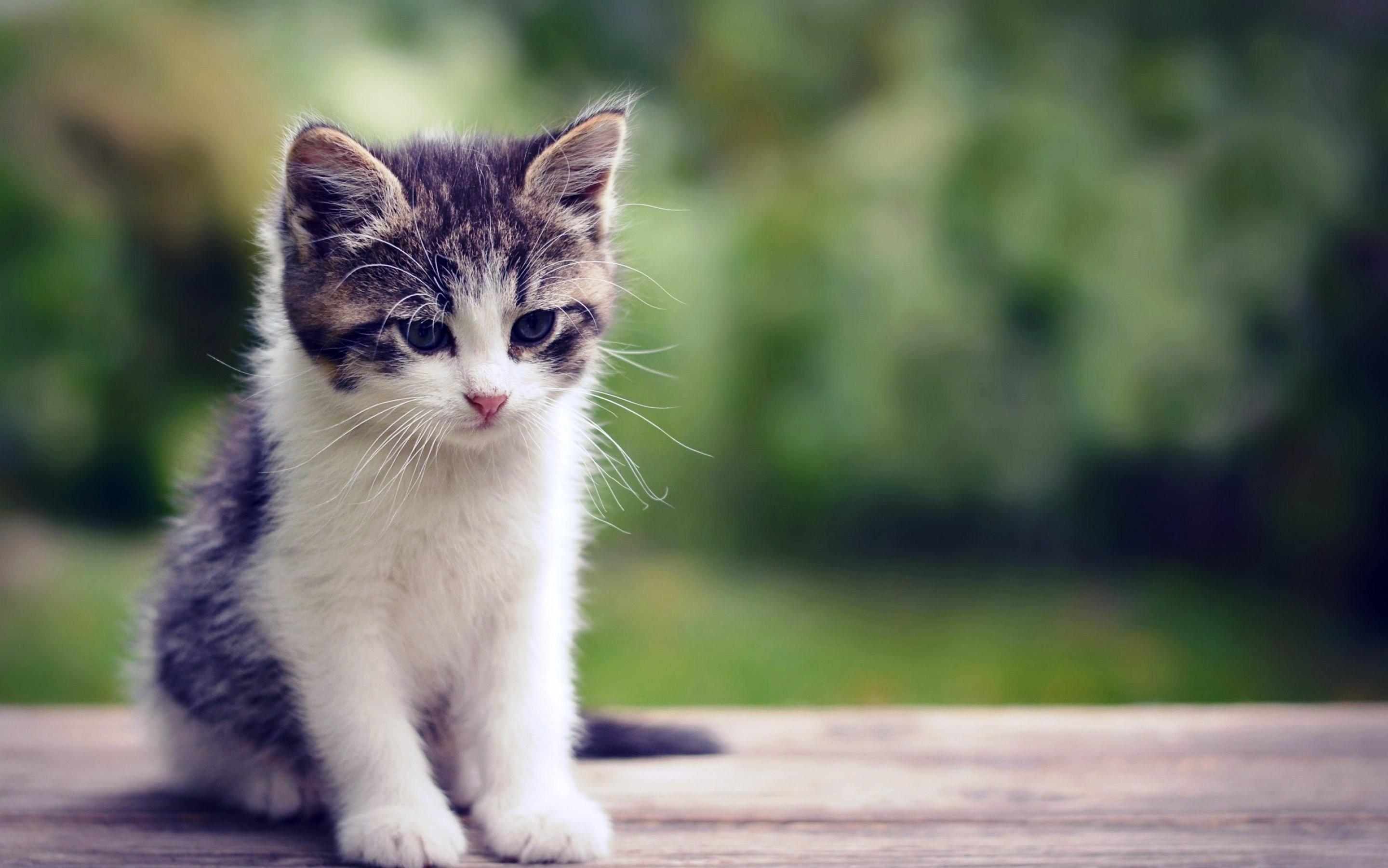 Baby cat wallpapers clipart image gallery for free download