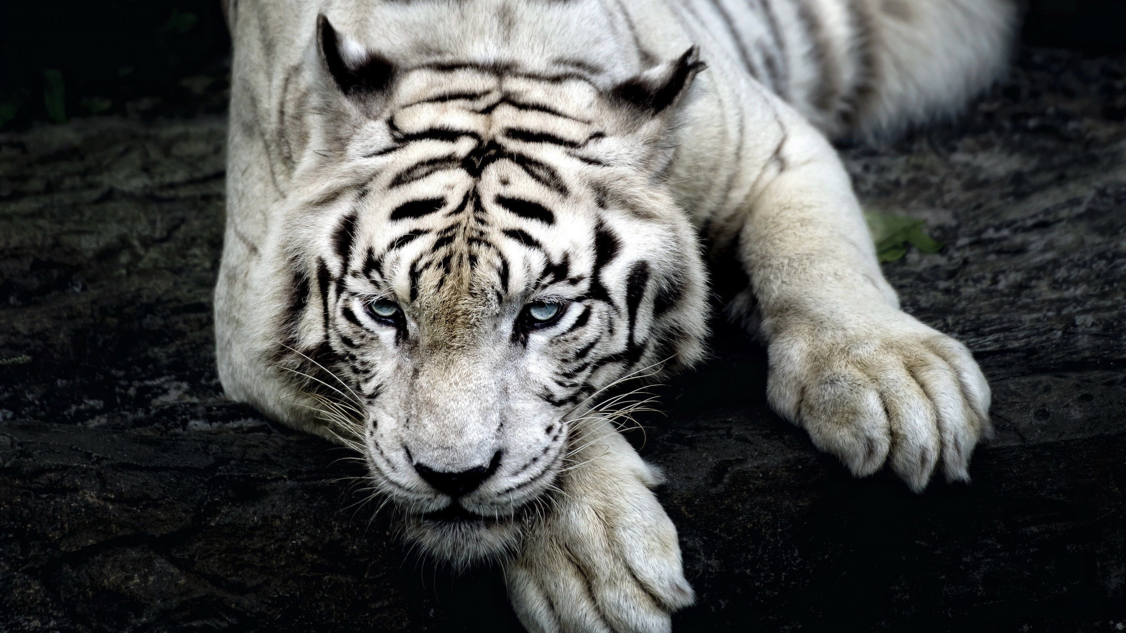 Wallpaper For Pc Tiger