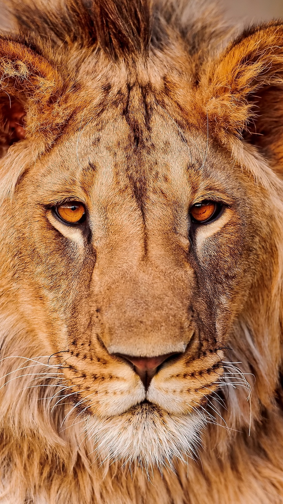 Lion Hd Face Iphone Wallpapers Wallpaper Cave