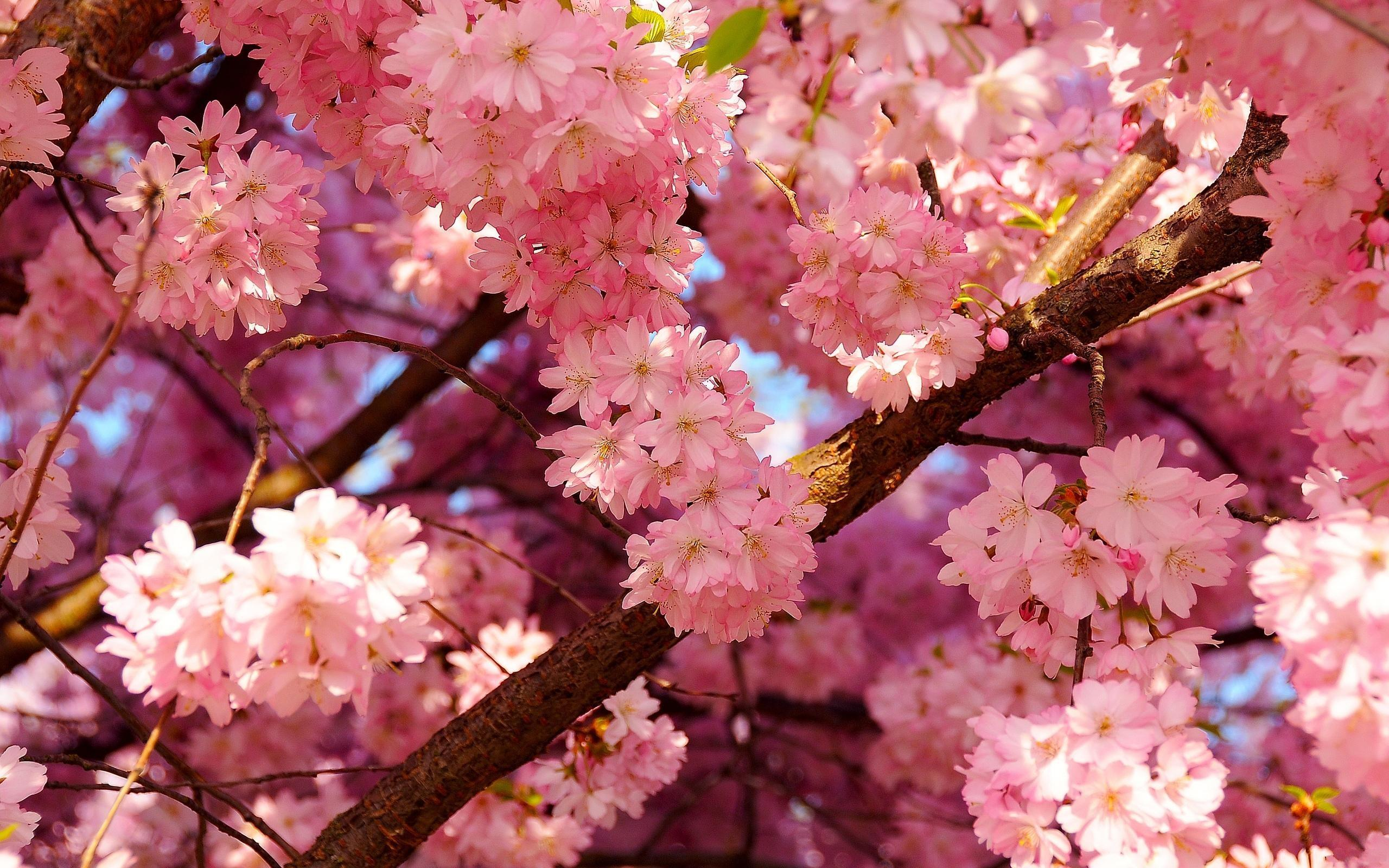 Hd Cherry Blossom Wallpapers Hd Desktop Wallpapers
