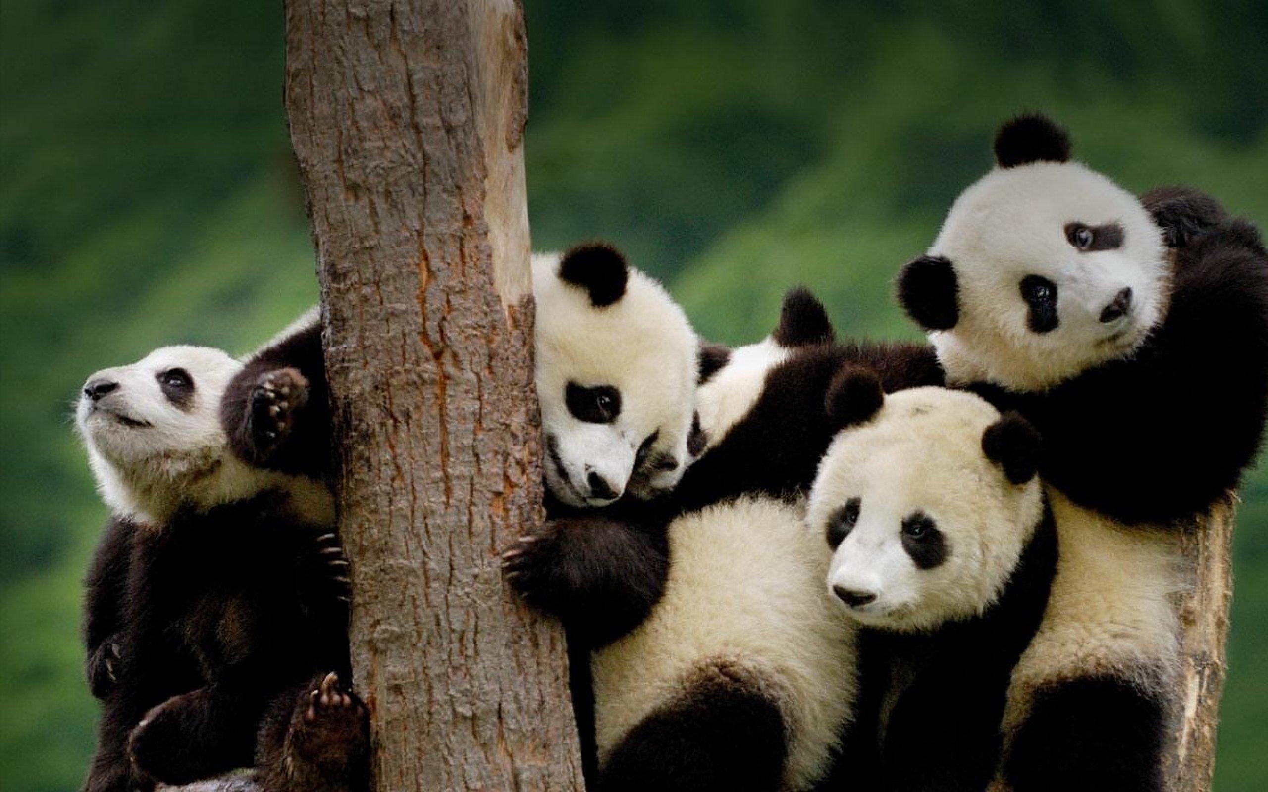 Baby Pandas Wallpapers Wallpaper Cave
