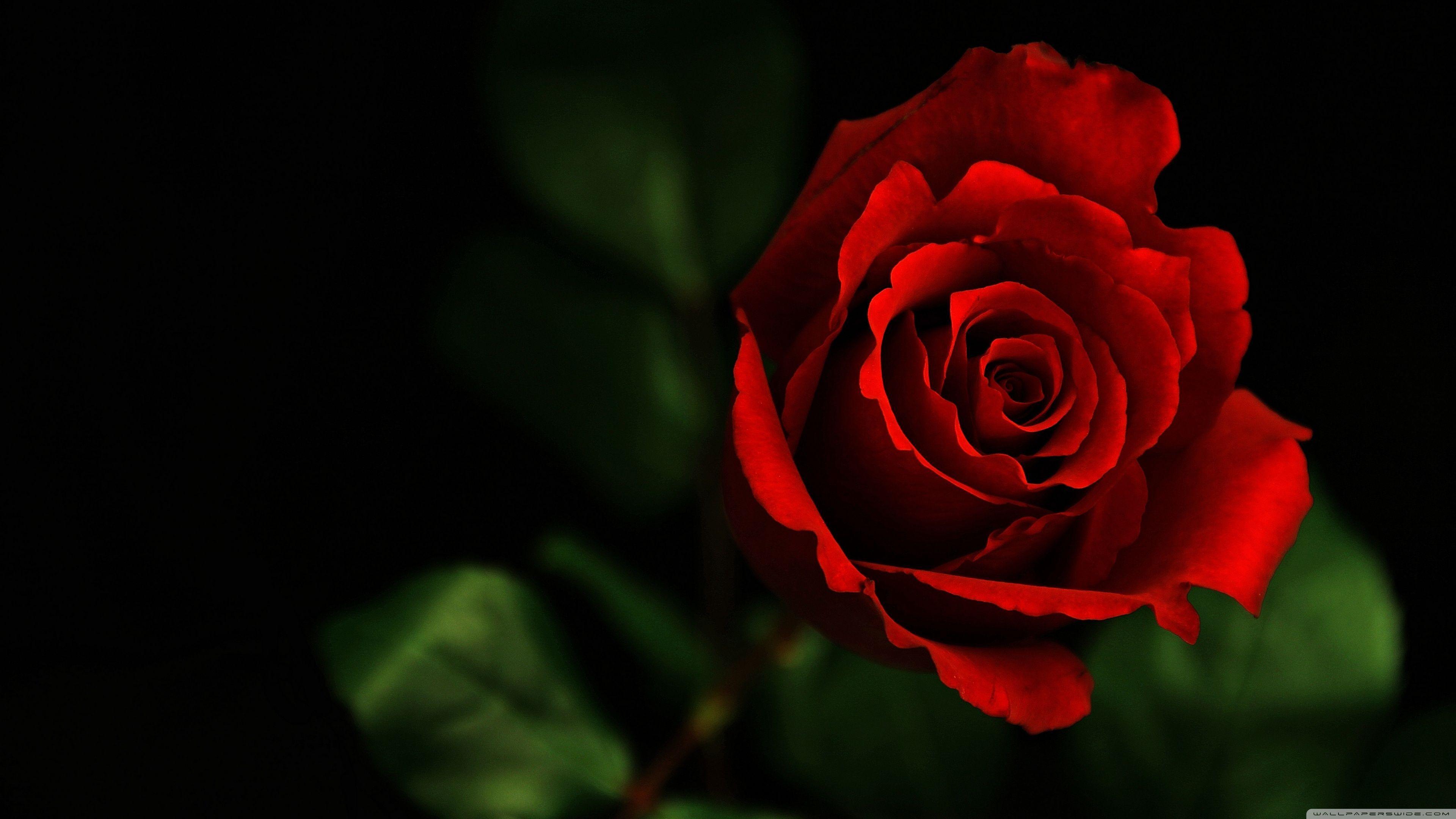 One Red Rose HD Desktop Wallpapers - Wallpaper Cave