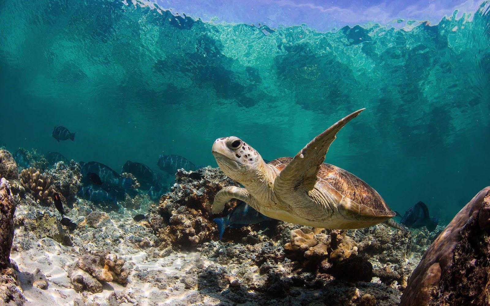 Turtle Underwater Wallpapers Wallpaper Cave