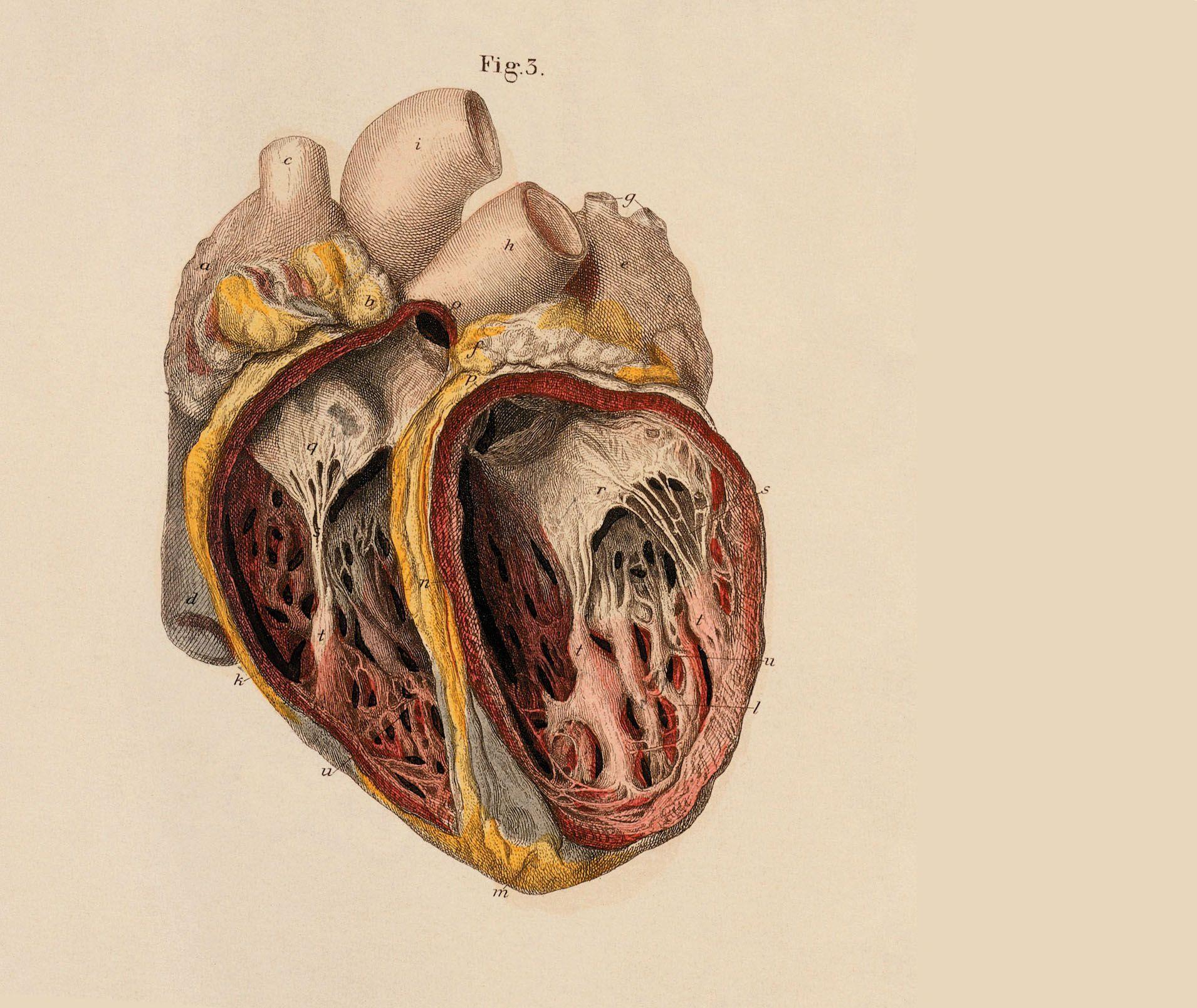 Heart Anatomy Wallpapers Wallpaper Cave