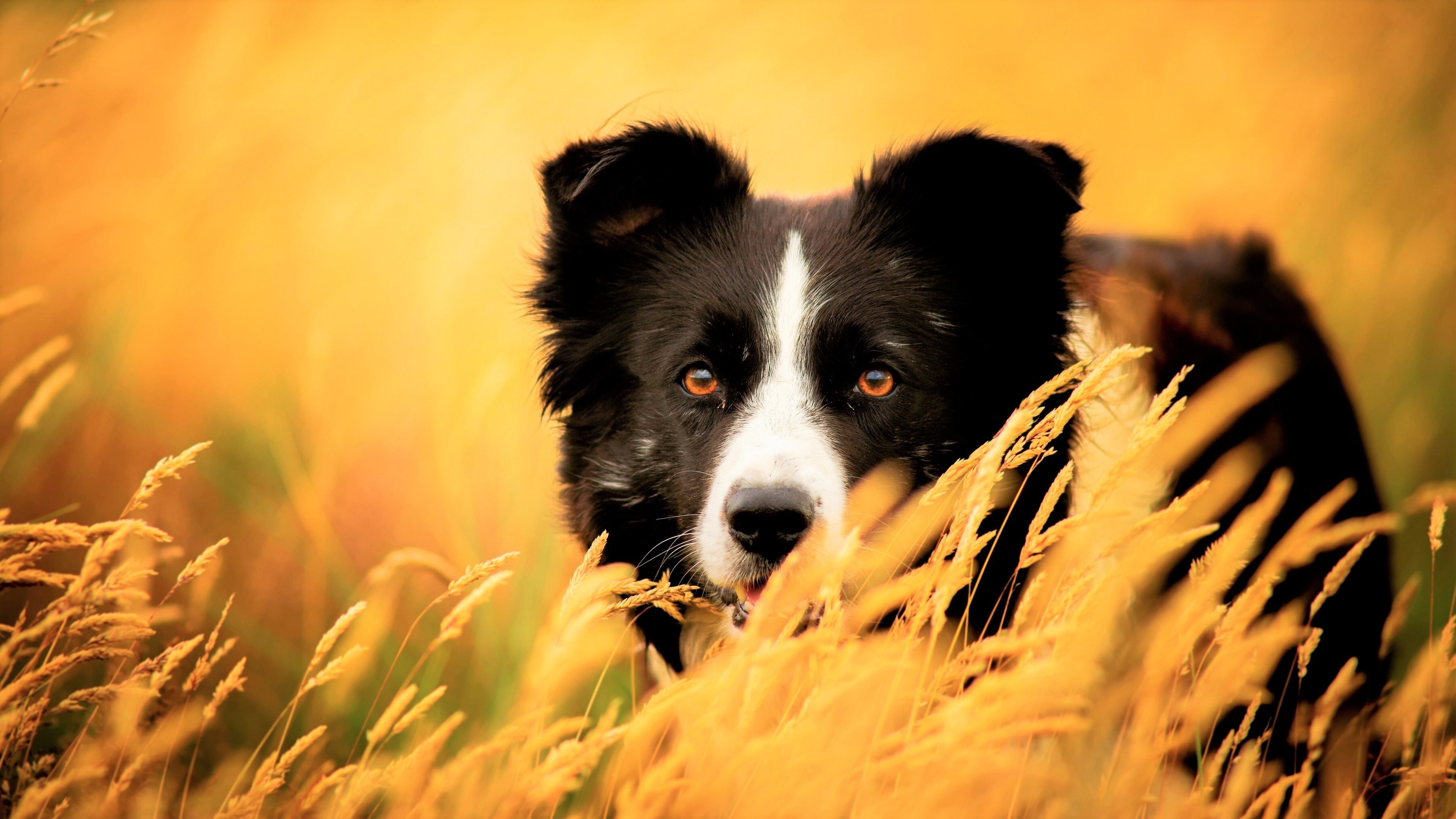 Collie Wallpapers Wallpaper Cave