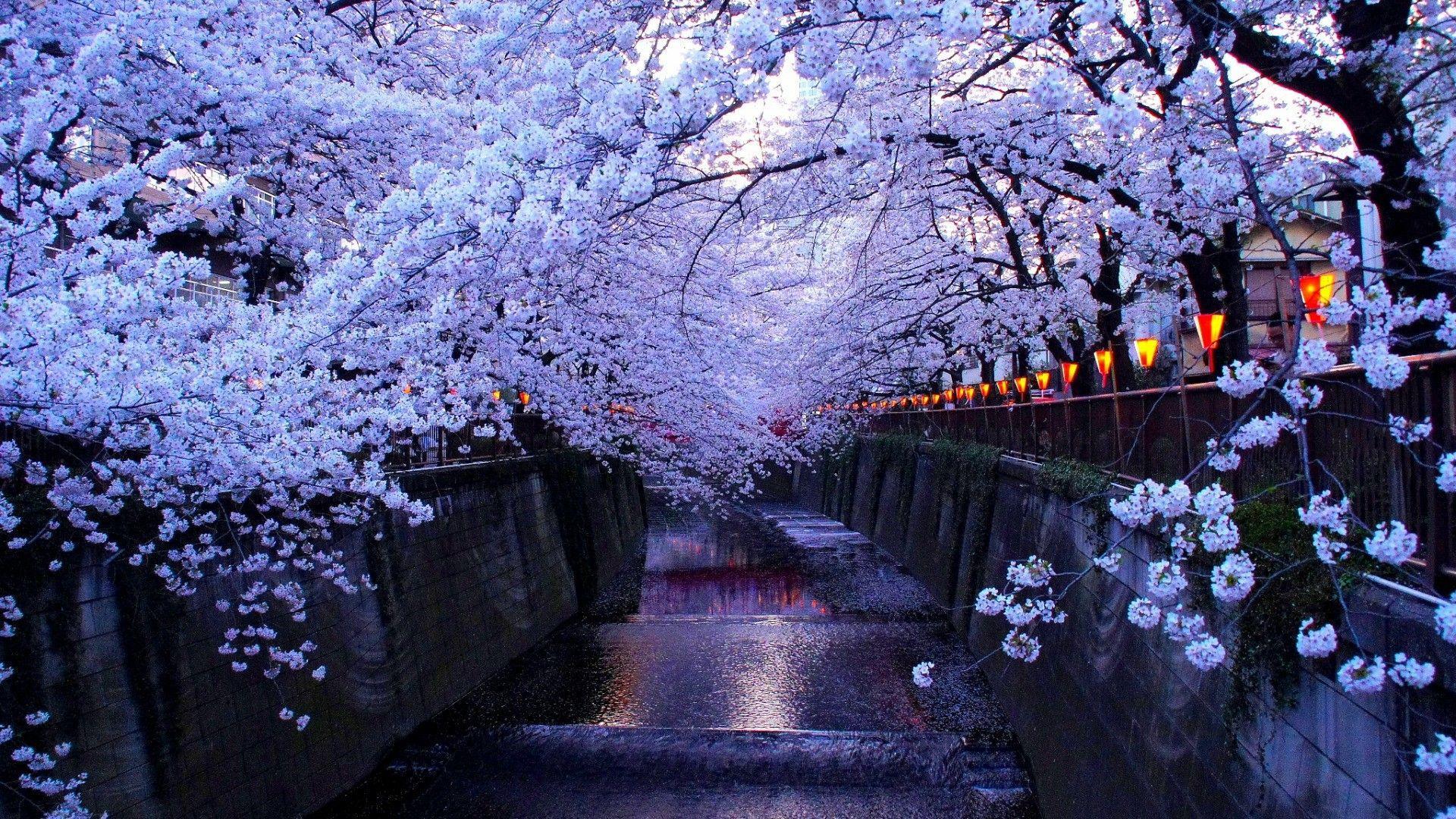 Sakura Blossoms Anime Wallpapers - Wallpaper Cave