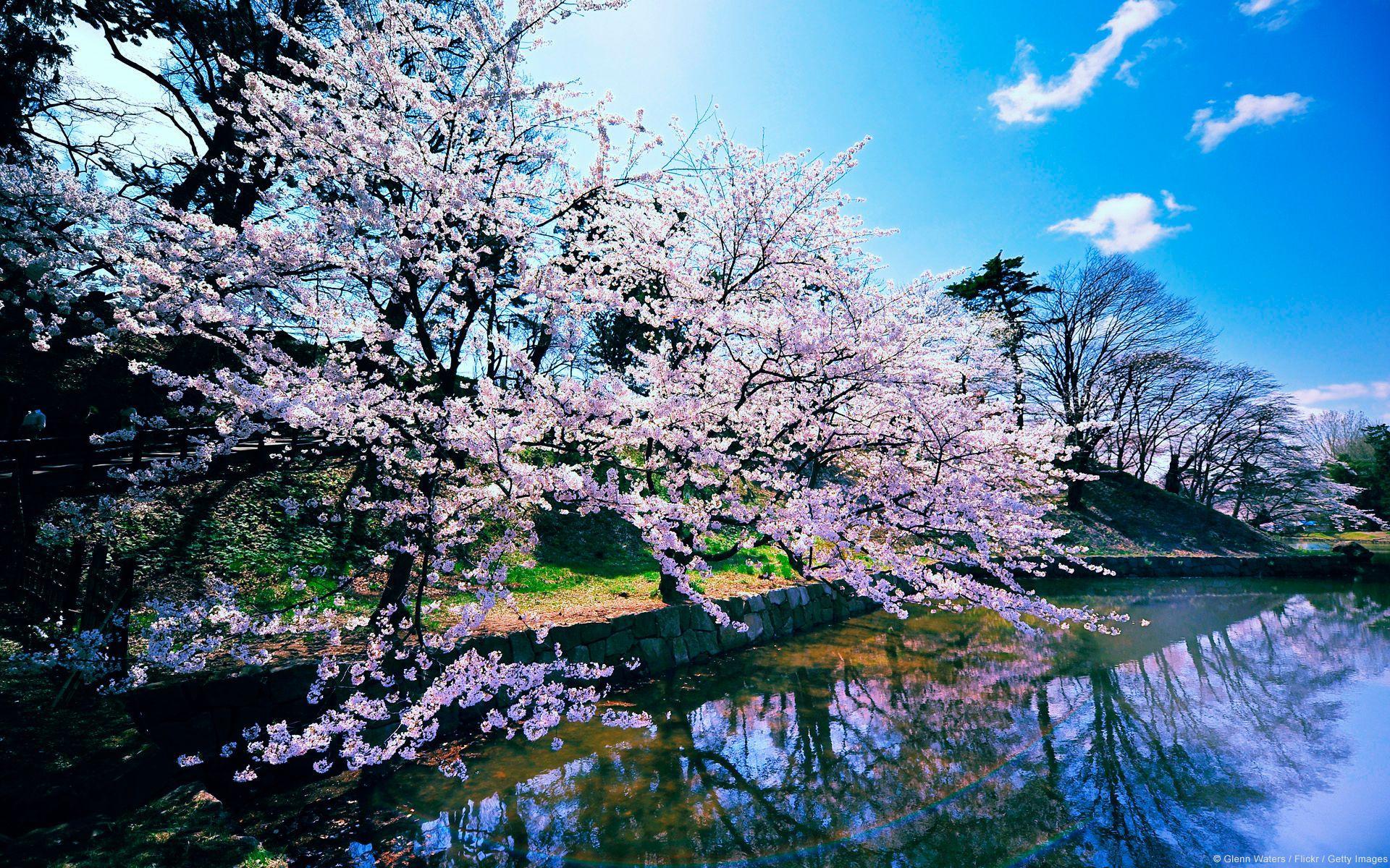 Sakura Trees Wallpapers Wallpaper Cave