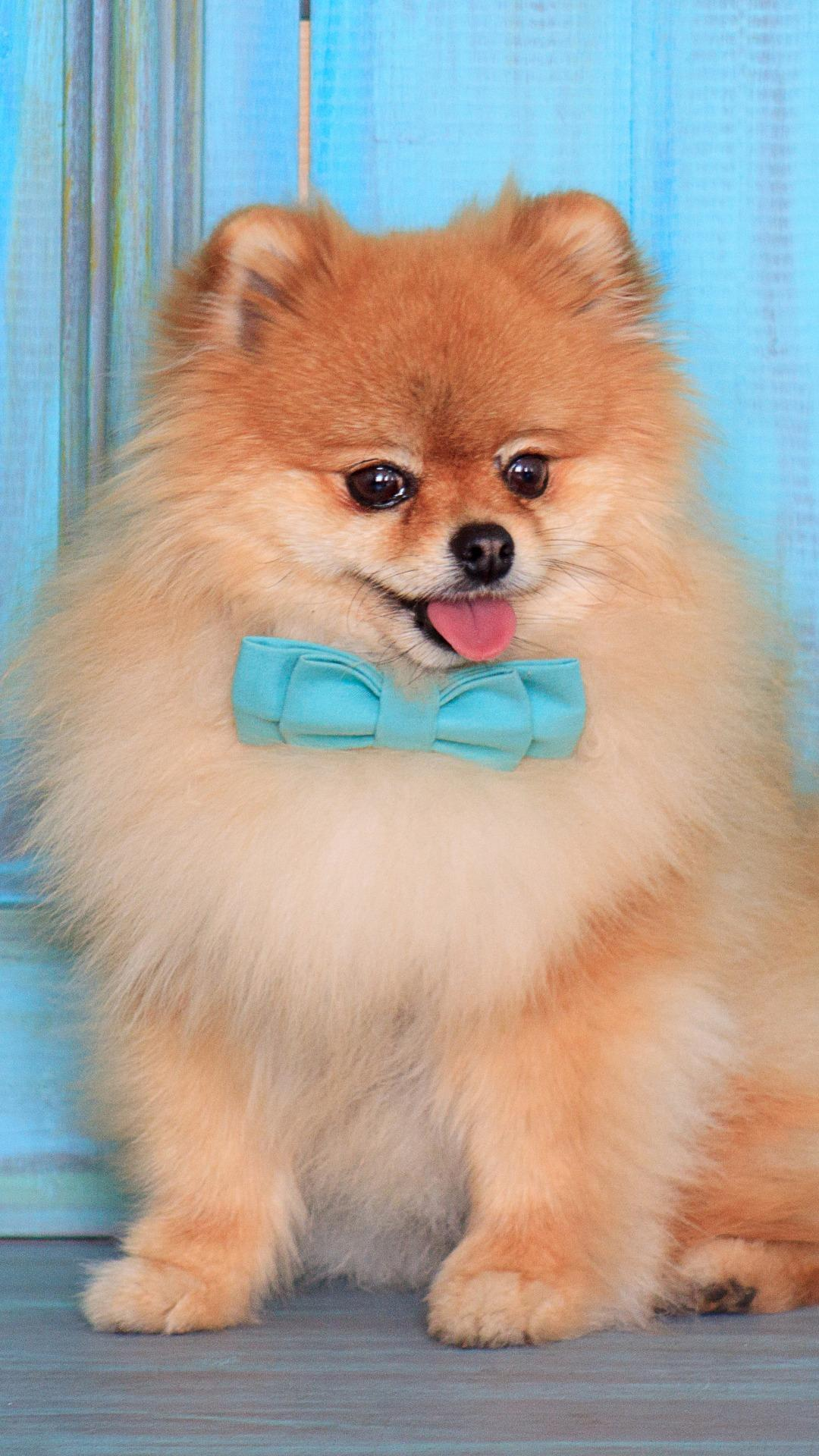 Dogs Pomeranian Wallpapers   Wallpaper Cave