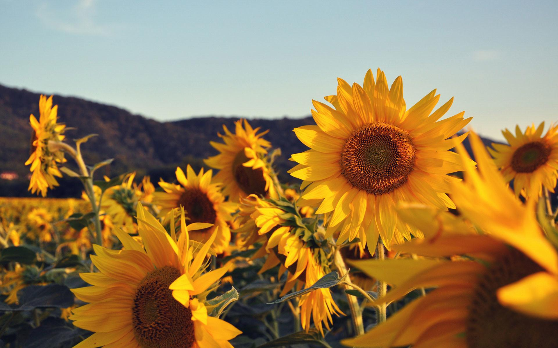 Sunflowers Hd Wallpapers Sunflowers