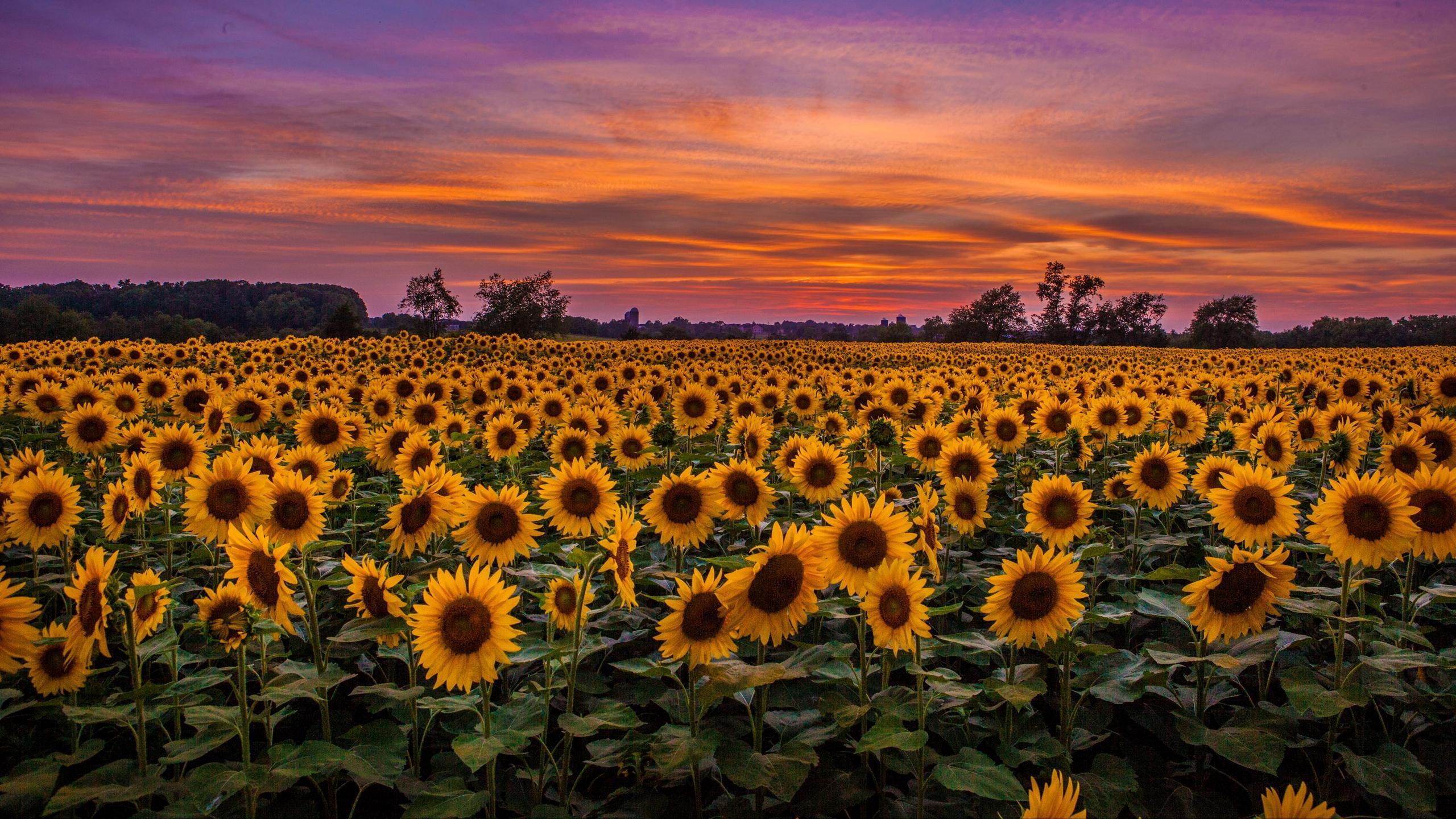 Sunflower Aesthetic Sunset Wallpapers Wallpaper Cave