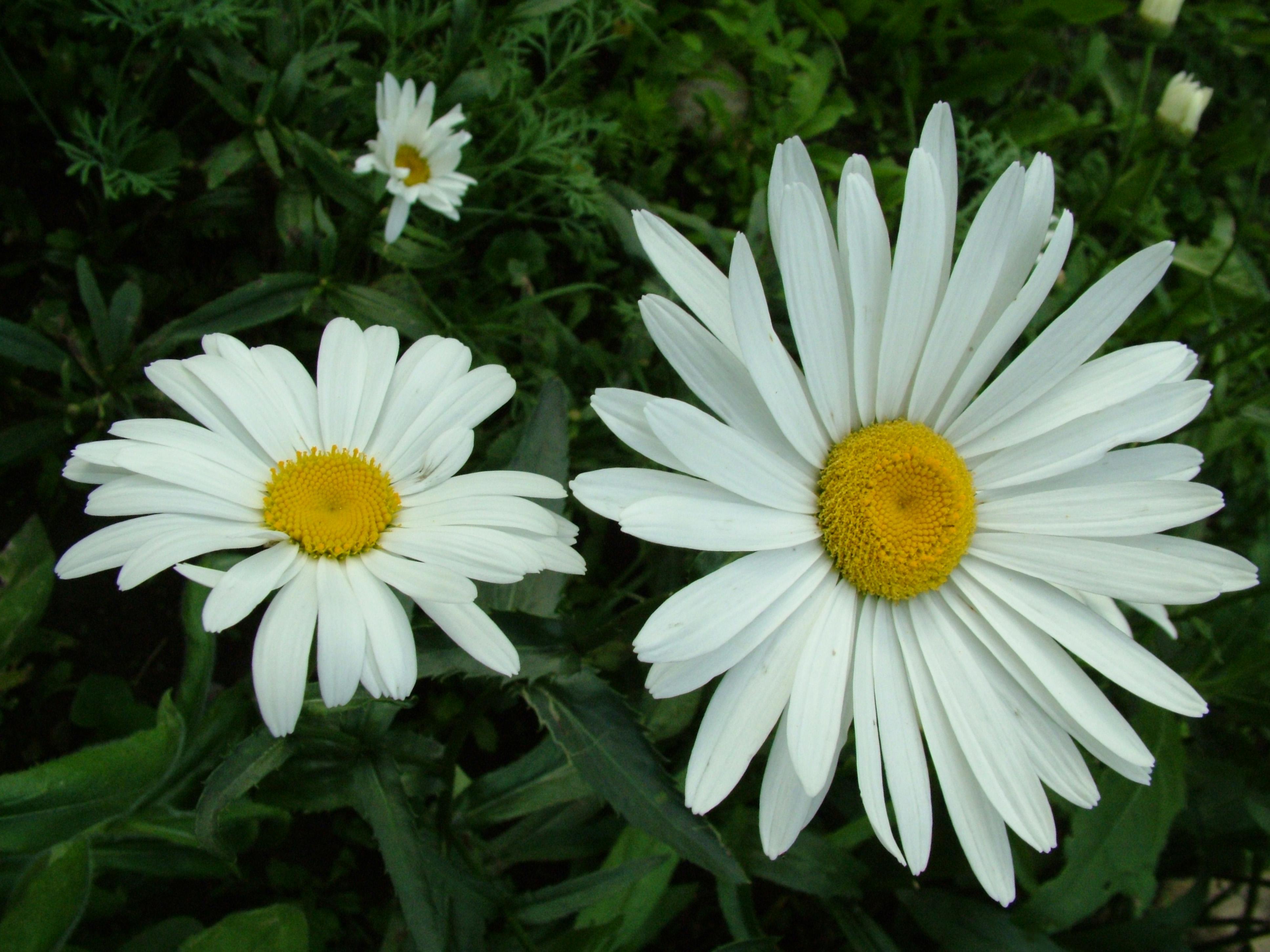 этих картинки цветов колокольчик одуванчик мак ромашка фото ремонта