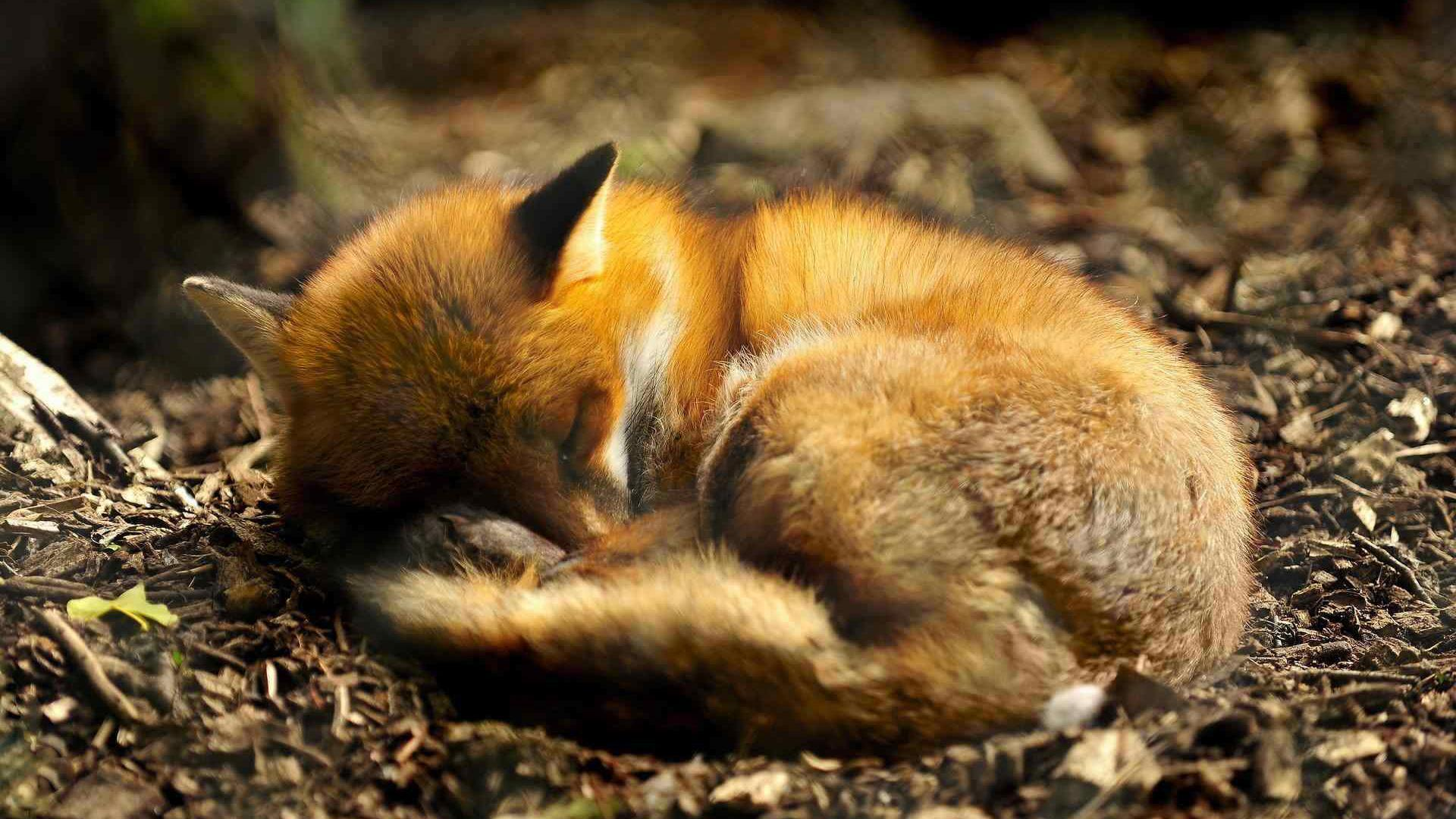 Cute Baby Foxes Wallpapers - Wallpaper Cave