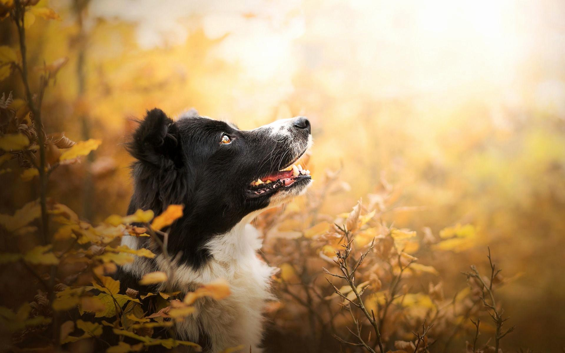 74+ Border Collie Wallpapers