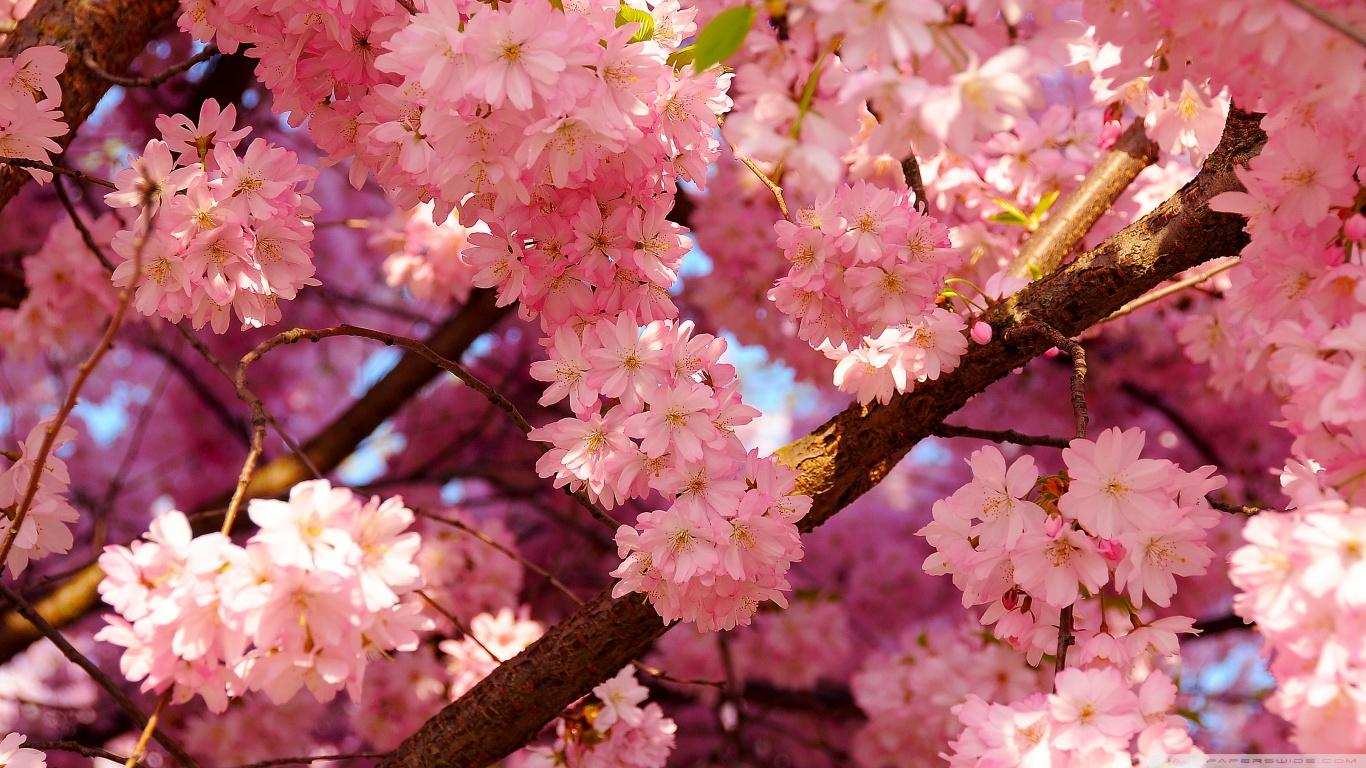 Cherry Blossom Aesthetic Wallpapers Wallpaper Cave