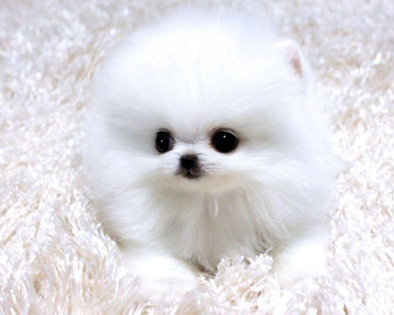 White Pomeranian Wallpapers Wallpaper Cave