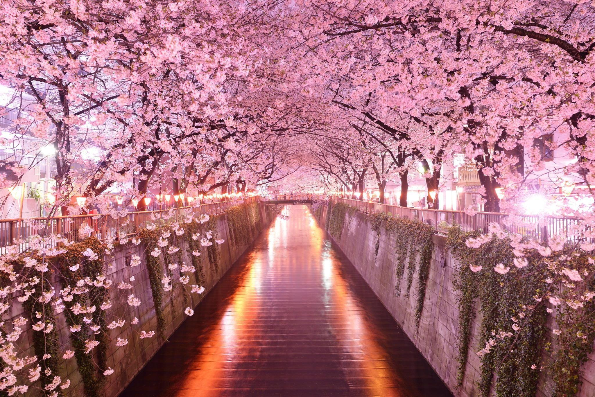 Sakura Spring Wallpapers Wallpaper Cave