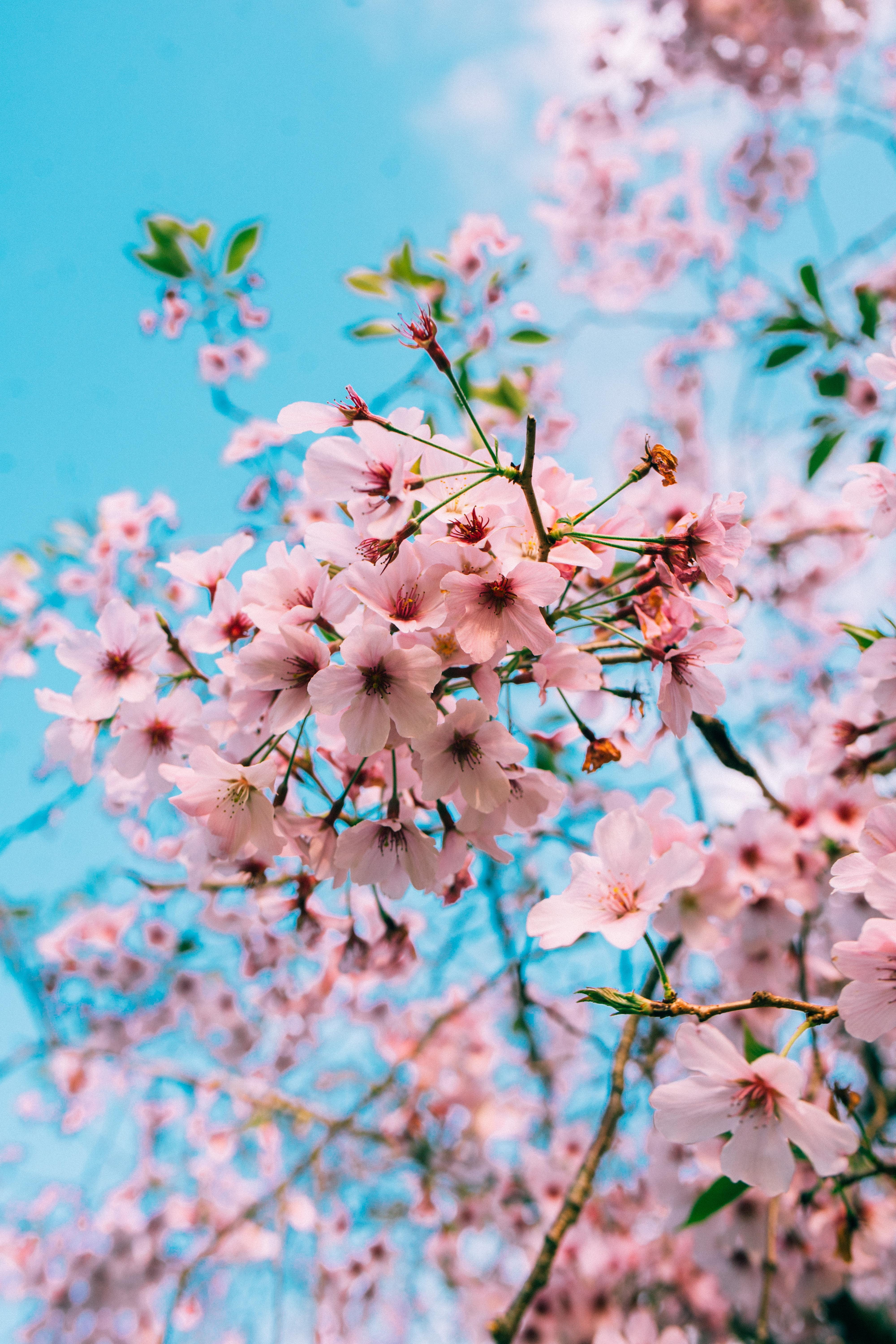 Cherry Blossom Anime Aesthetic Wallpapers - Wallpaper Cave