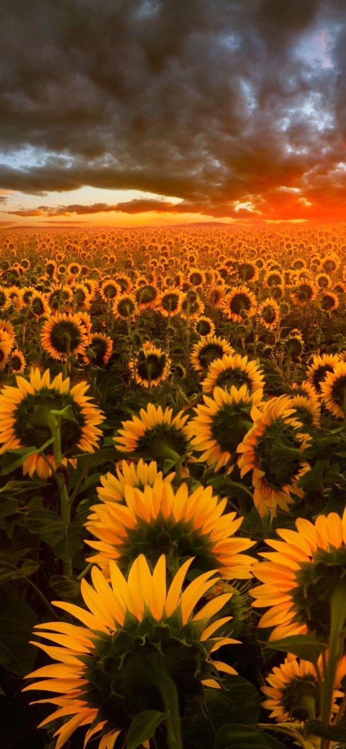 Sunflower Aesthetic Sunset Wallpapers - Wallpaper Cave
