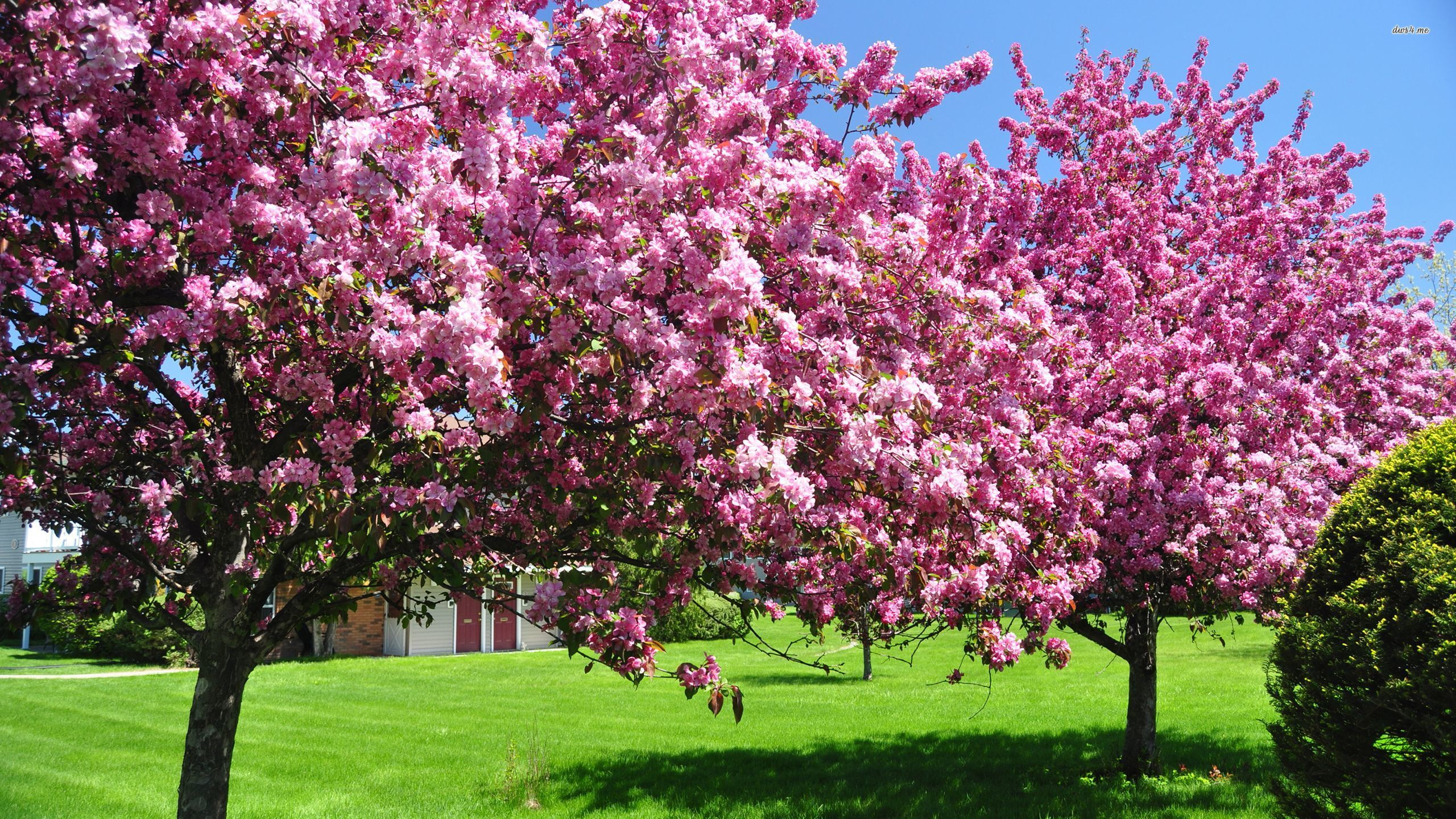 Pink blossomed trees on a sunny spring day wallpapers