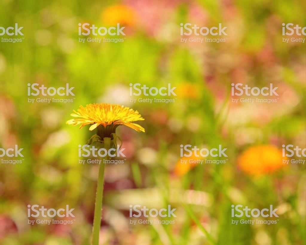 Dandelion Growing On A Clearing In A Sunny Spring Day Blossoming