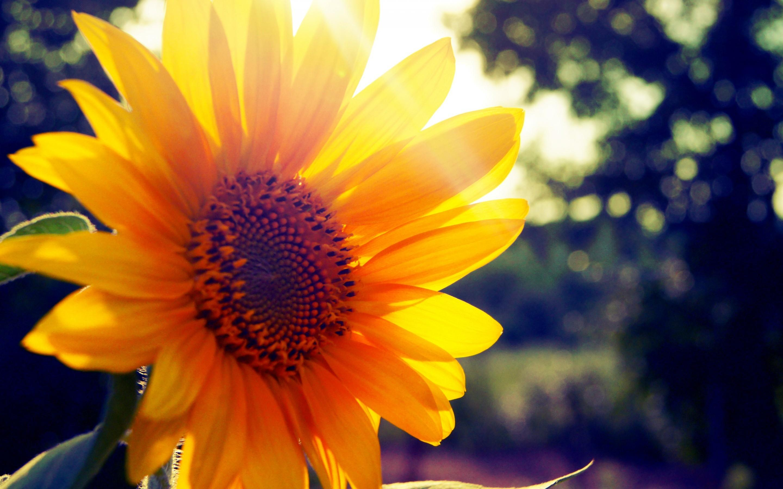 Sunflower Sunset Wallpapers - Wallpaper Cave