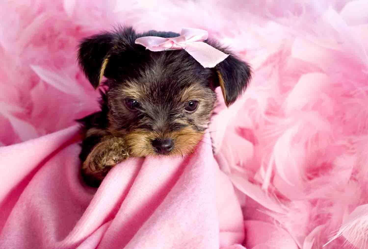 Puppy Yorkie Wallpapers Wallpaper Cave