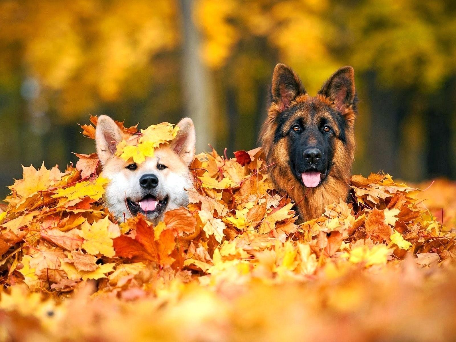 Autumn Dog Wallpapers Wallpaper Cave