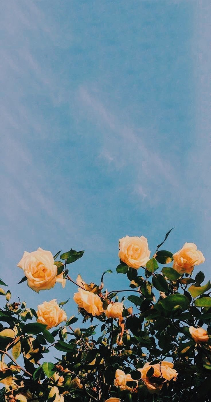 aesthetic roses wallpapers
