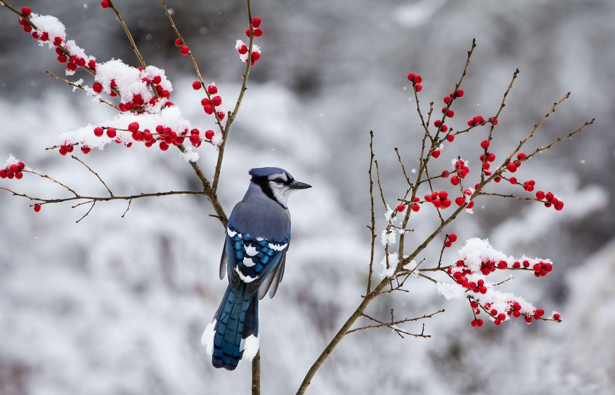 Winter Birds And Berries Wallpapers