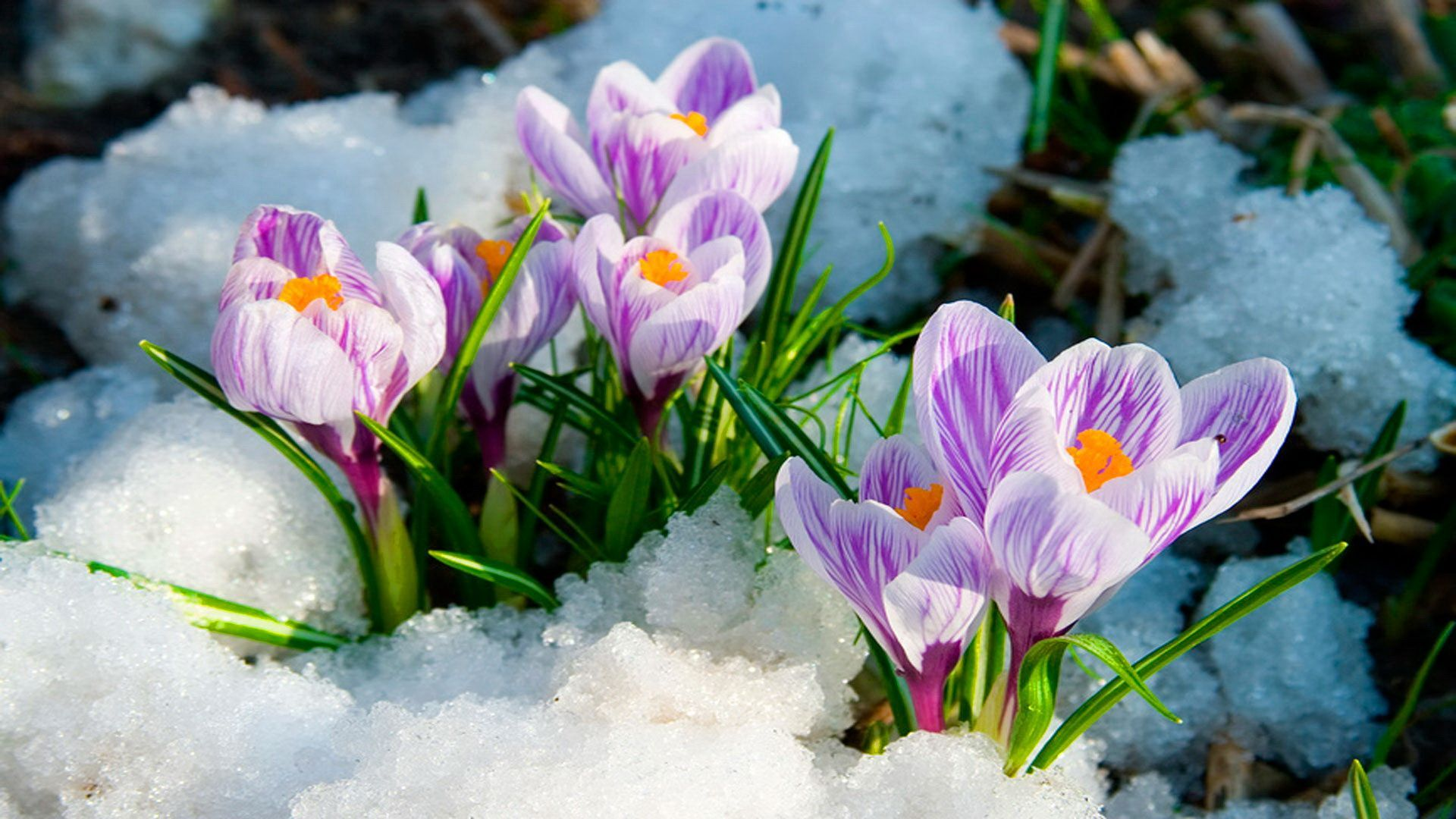 Early Spring Flowers Wallpapers ...