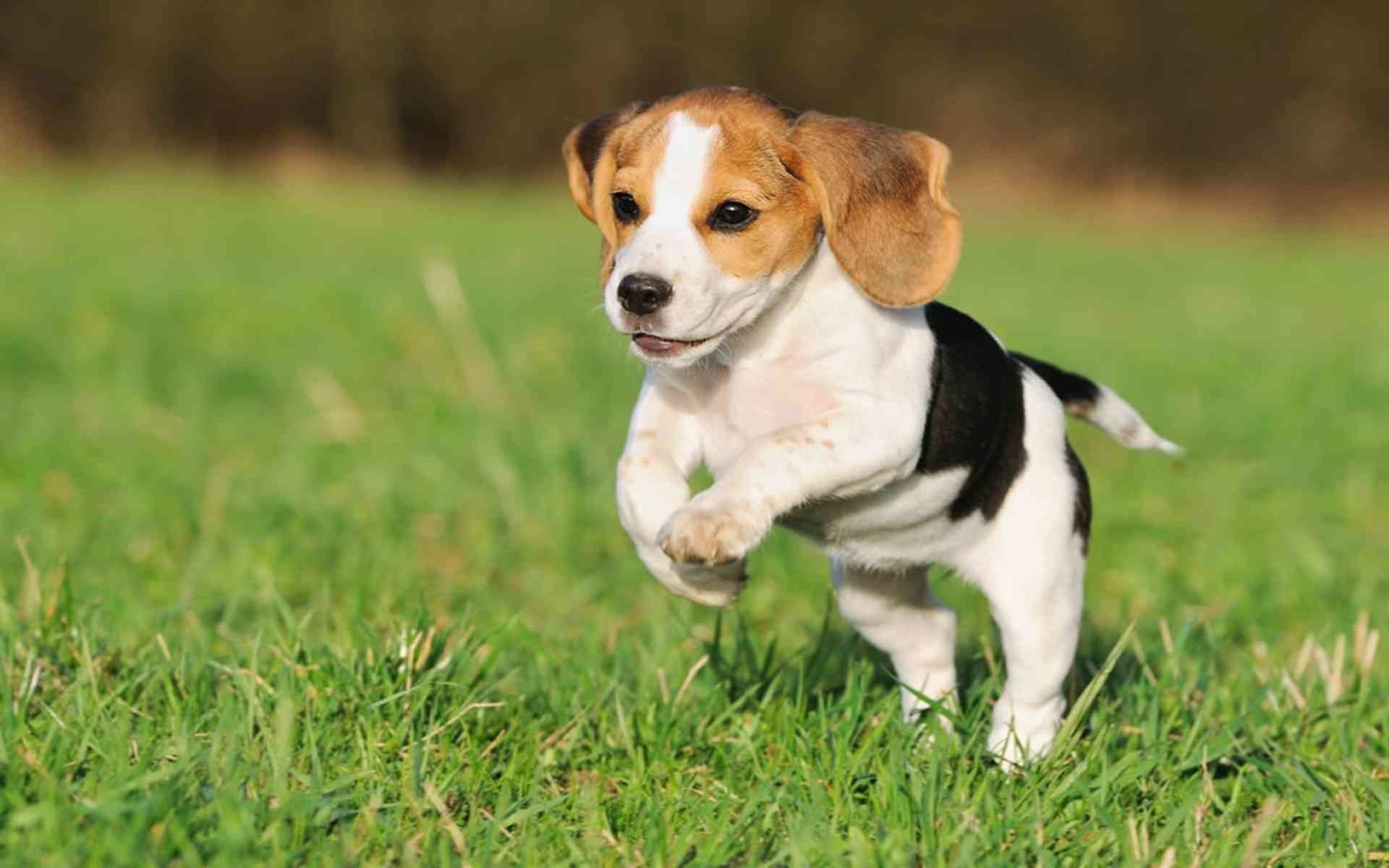 Baby Beagles Wallpapers Wallpaper Cave