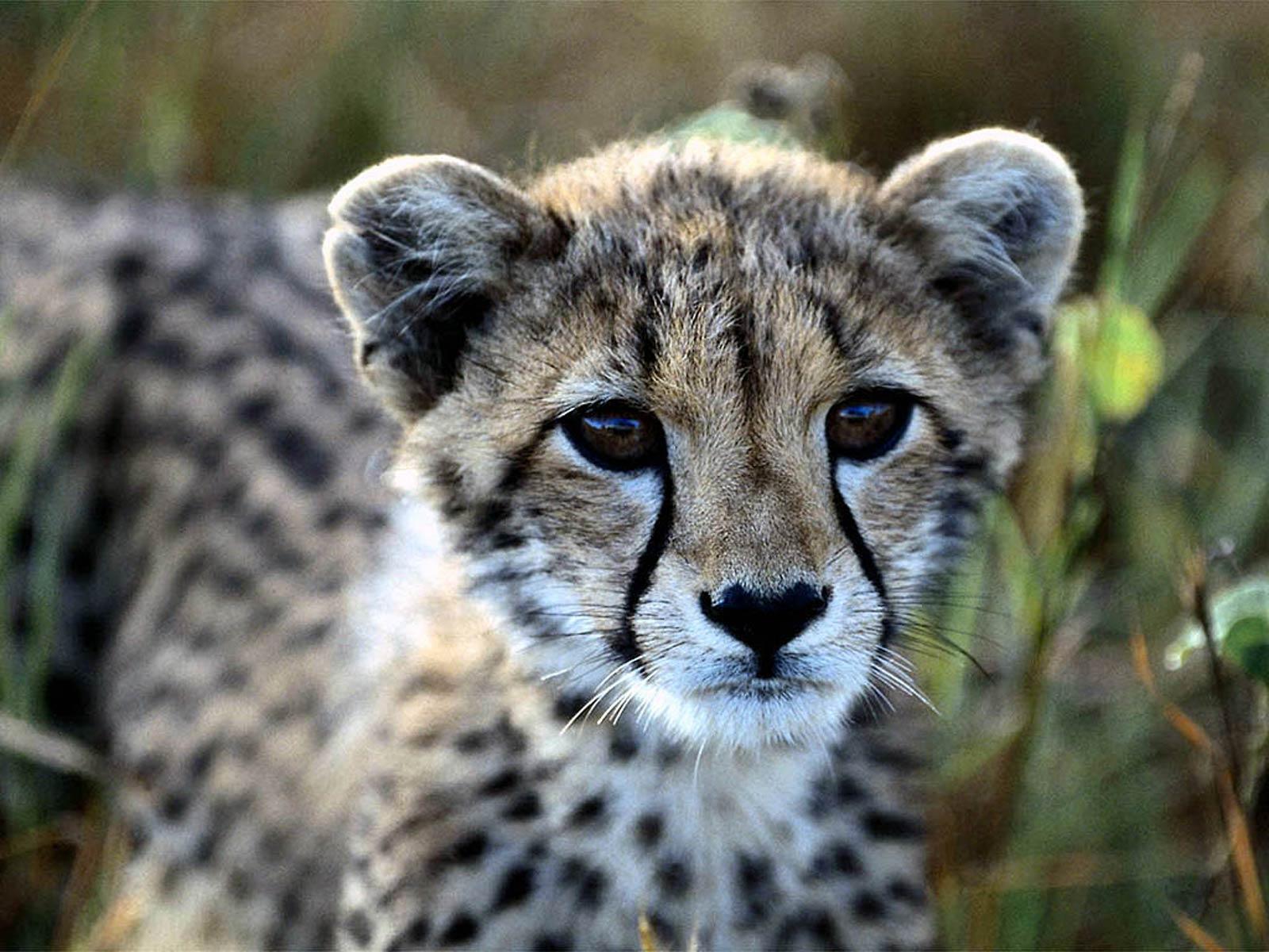 Baby Cheetahs Wallpapers Wallpaper Cave