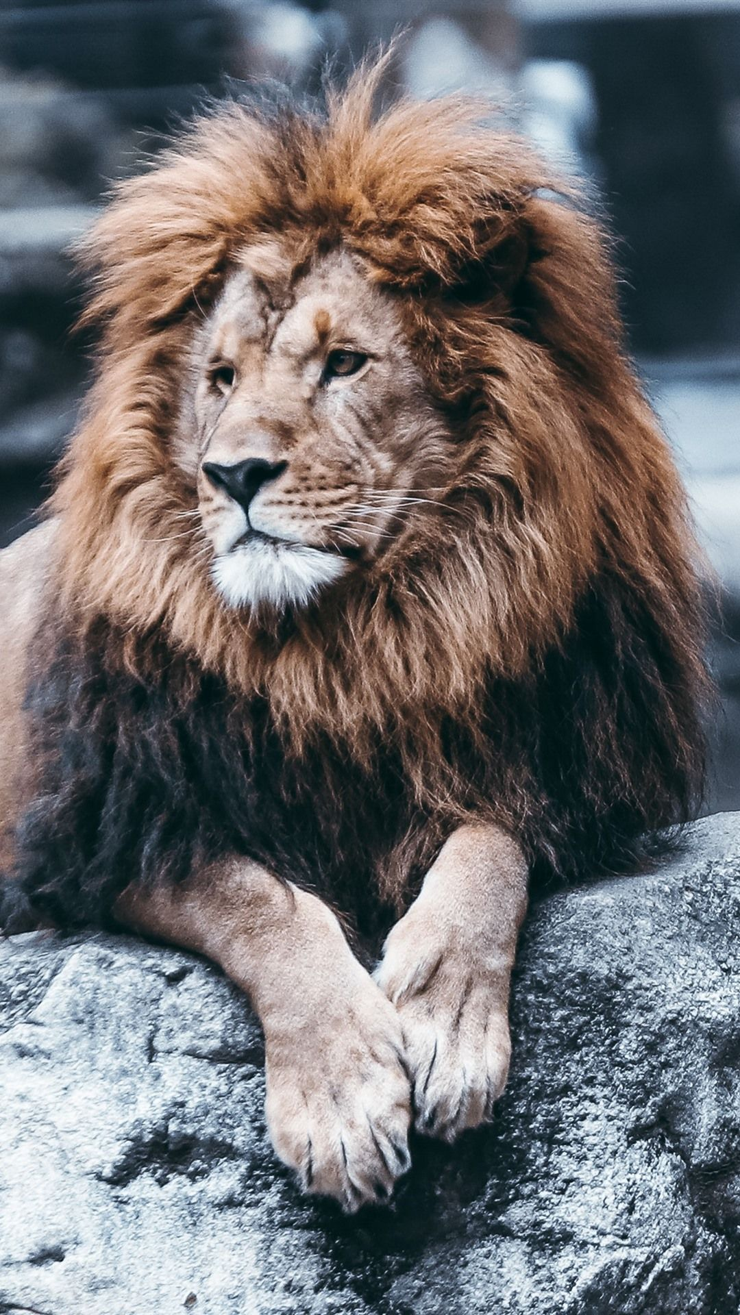 Lion Iphone Wallpapers Wallpaper Cave
