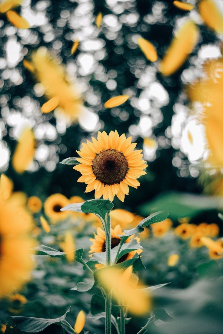 Cute Aesthetic Sunflower Wallpapers - Wallpaper Cave