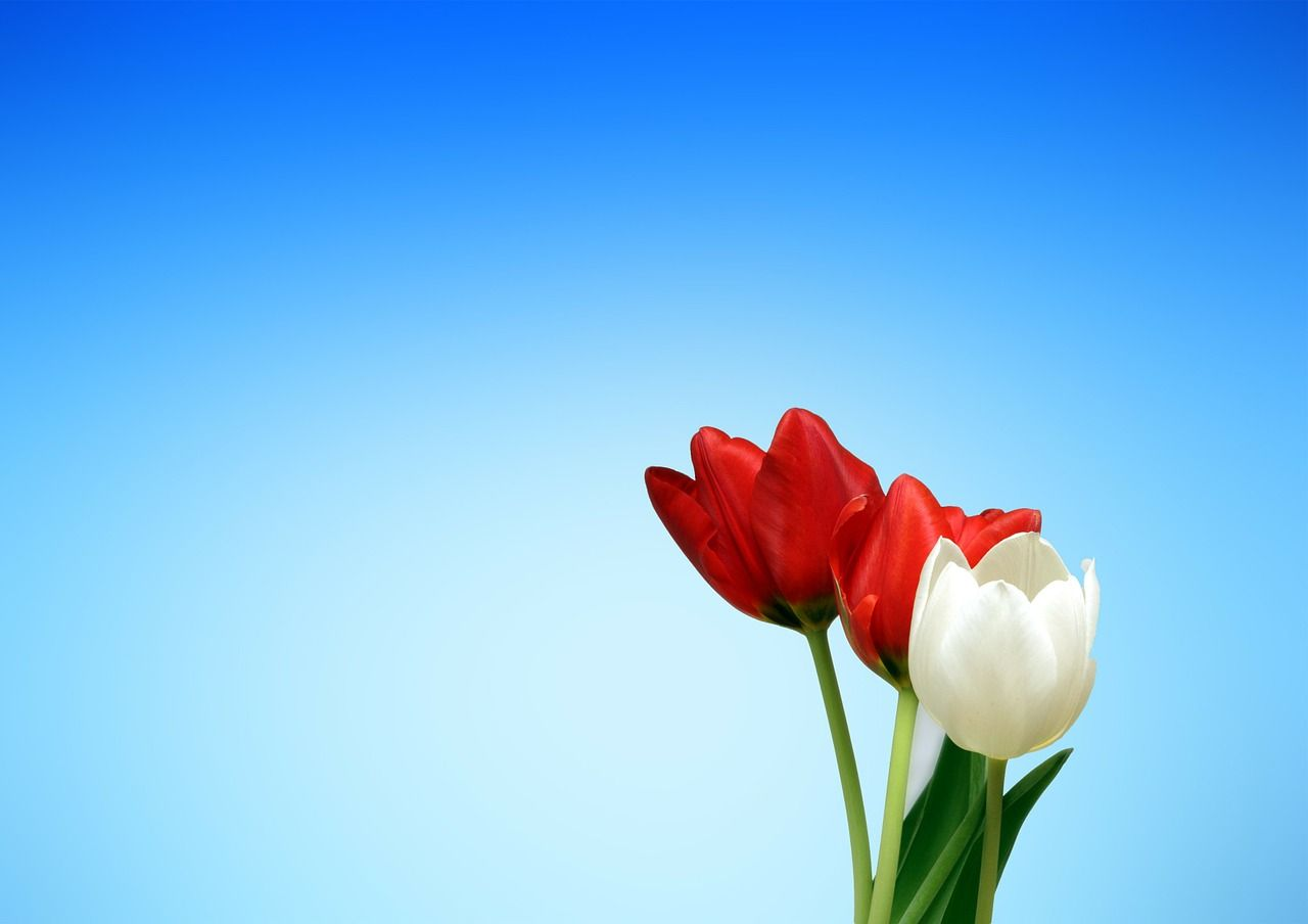 Aesthetics Red White Tulips Spring Backgrounds Wallpapers