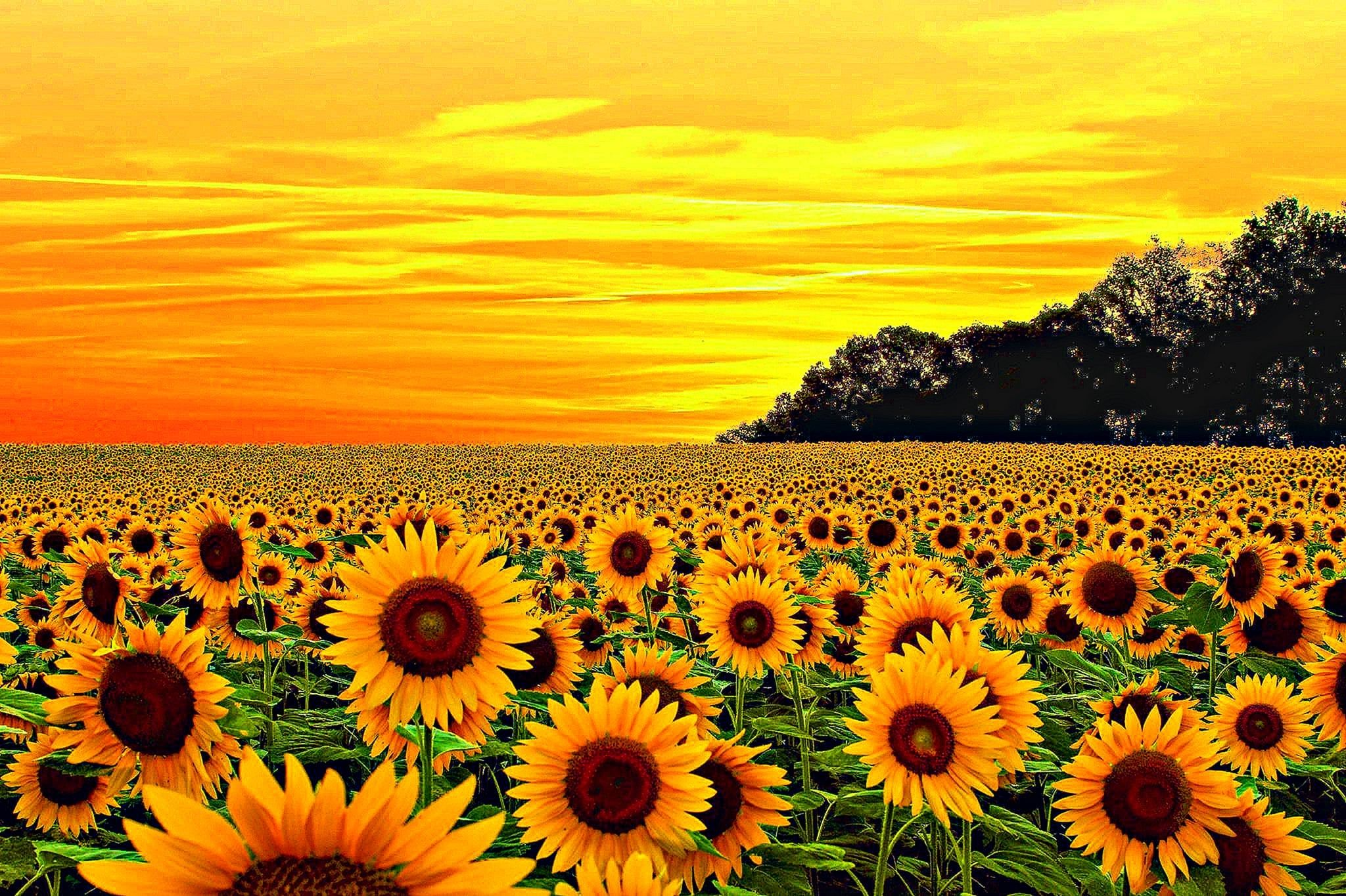 Yellow Aesthetic Sunflower Wallpapers - Wallpaper Cave