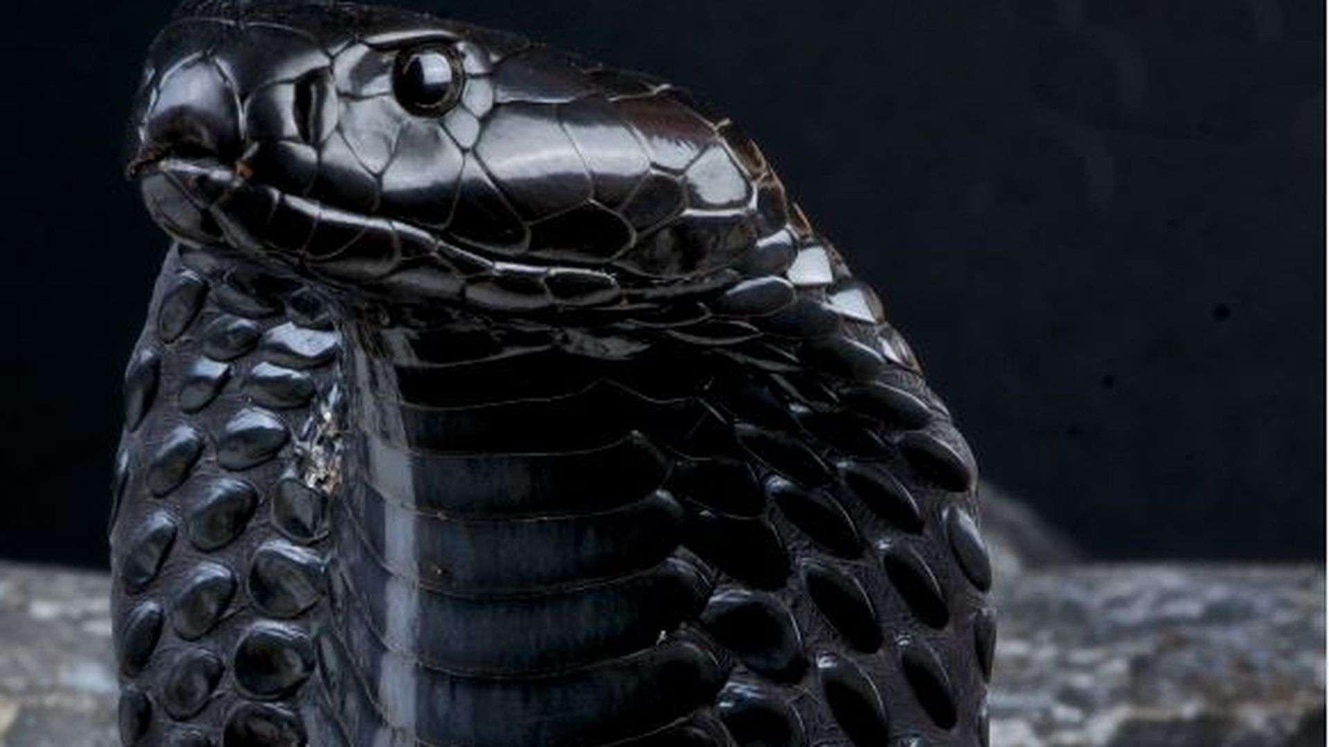 Фото кобра обои на телефон