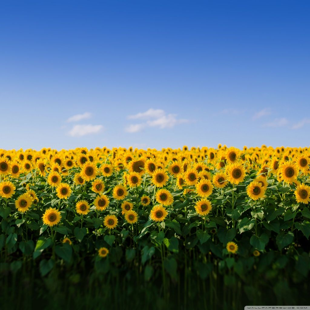 Sunflower Aesthetic Wallpapers - Wallpaper Cave
