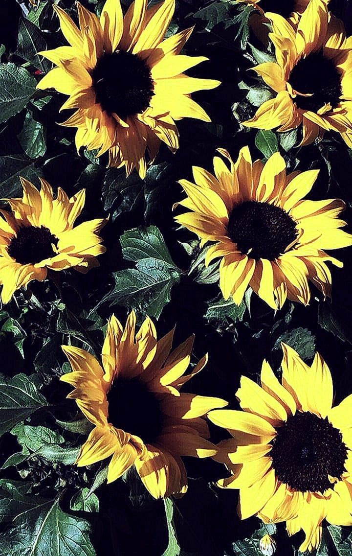 Aesthetic Sunflowers Wallpapers