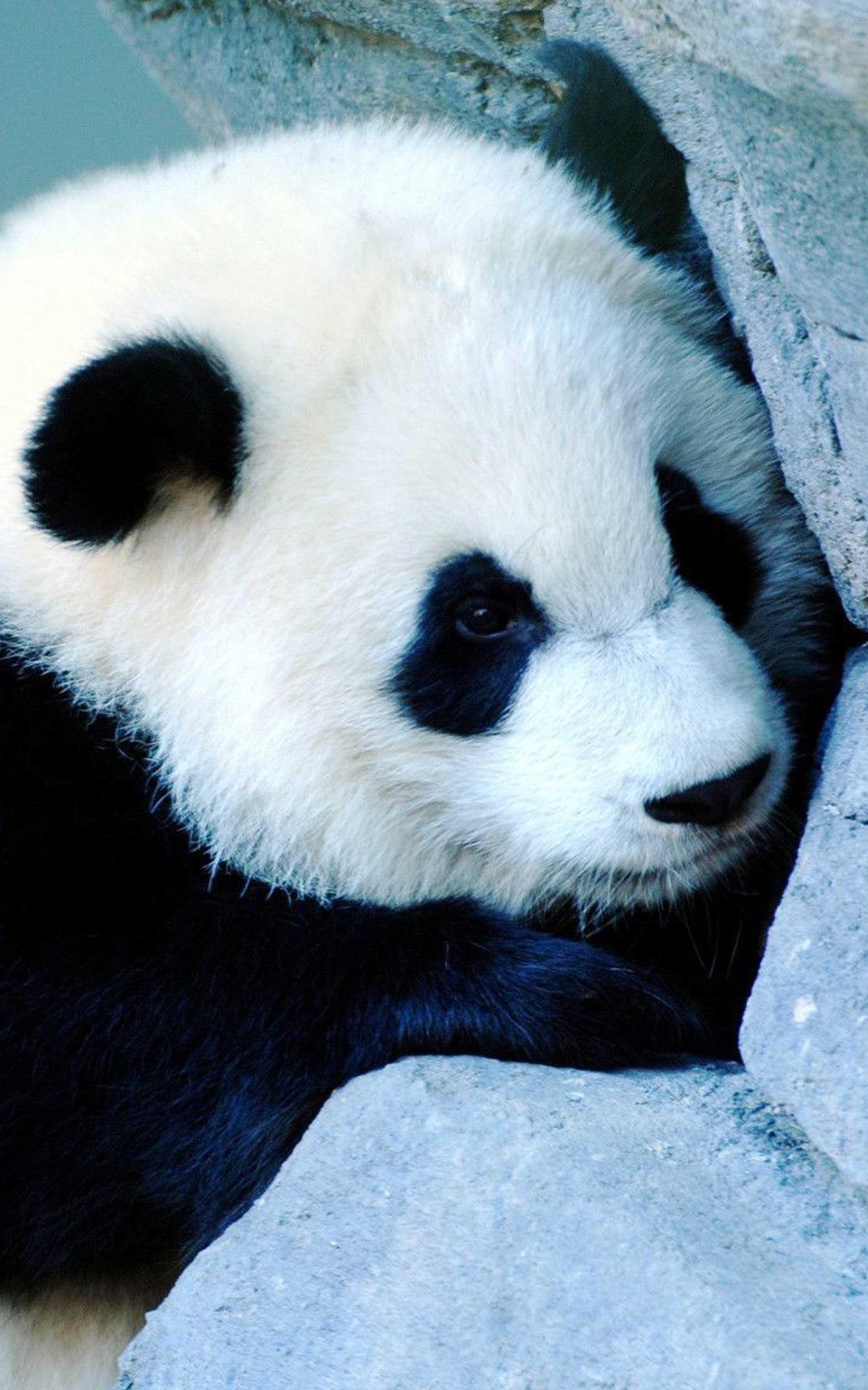 Cool Panda Wallpapers - Wallpaper Cave