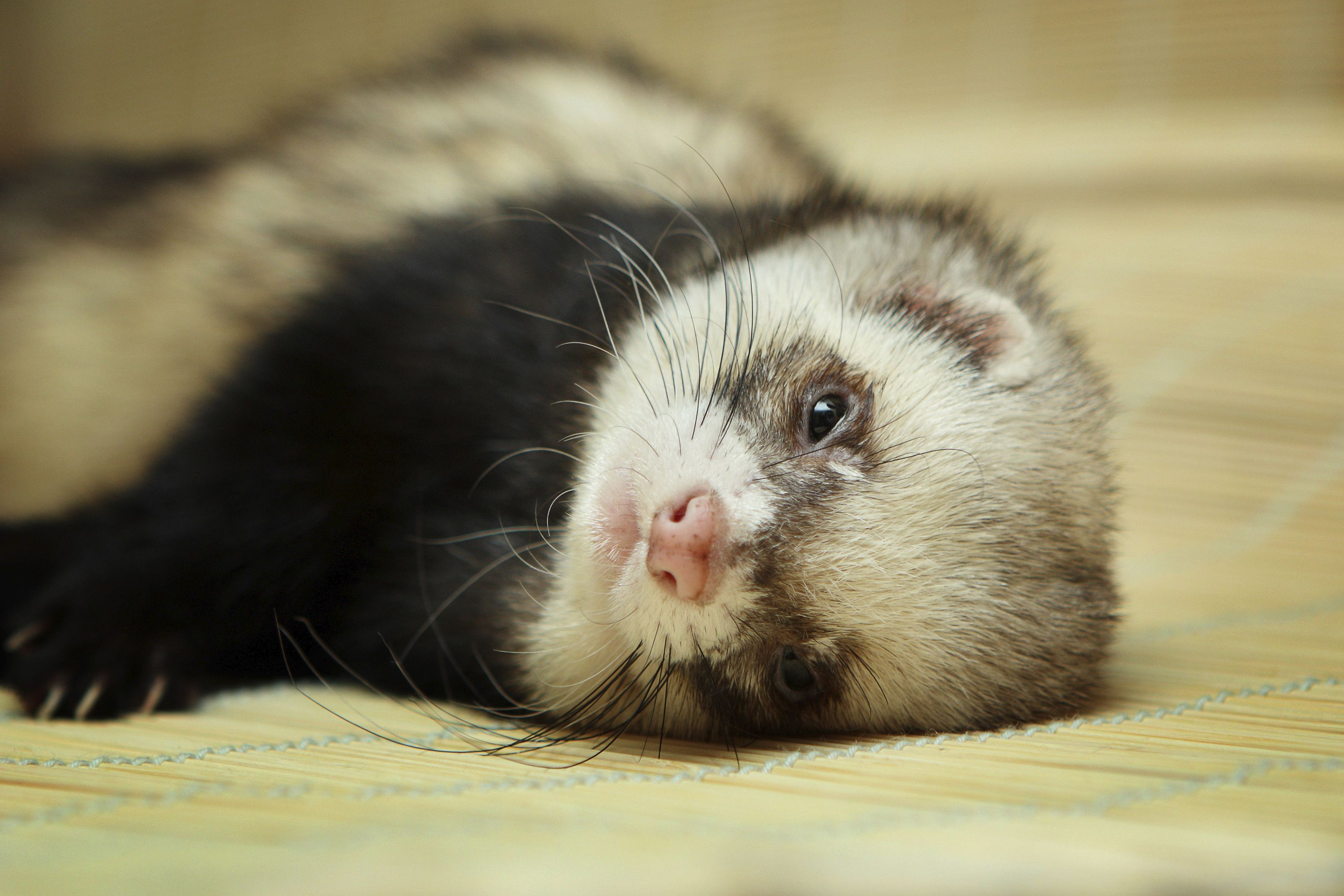 Baby Ferrets Wallpapers Wallpaper Cave